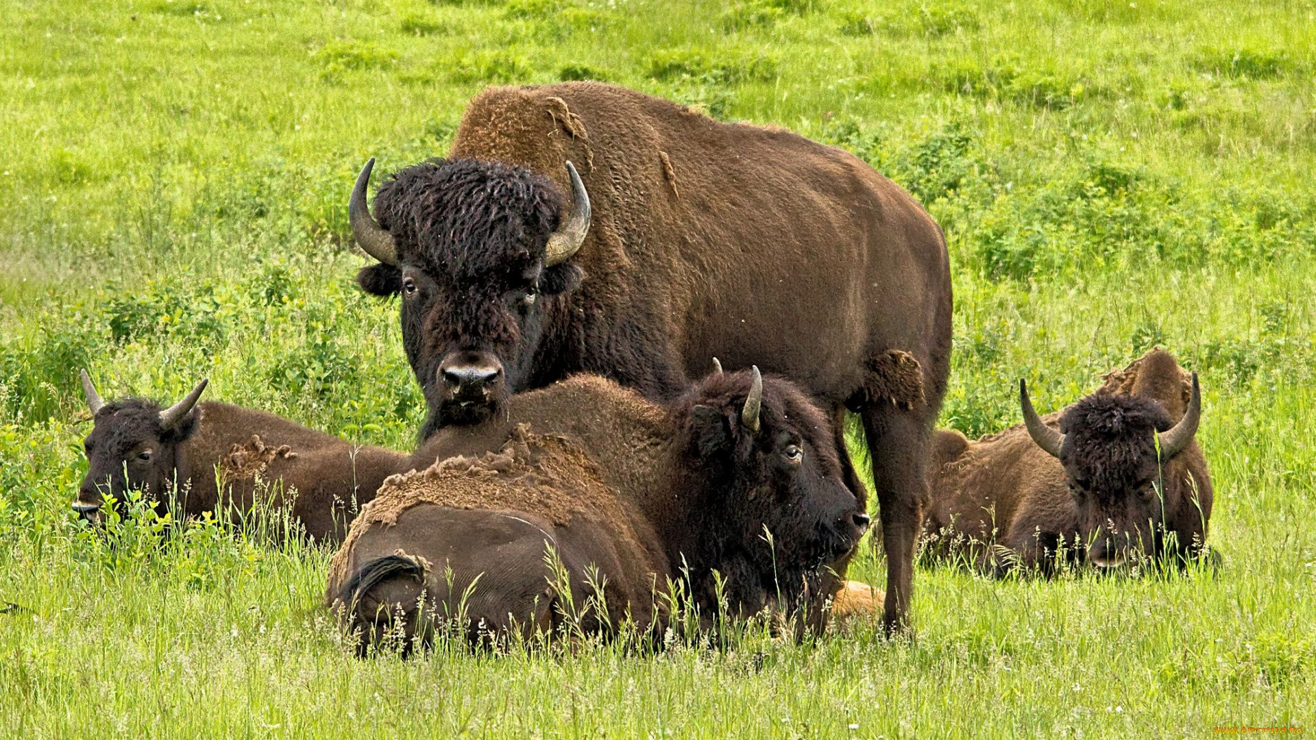 Photos Of The Buffalo And Bison