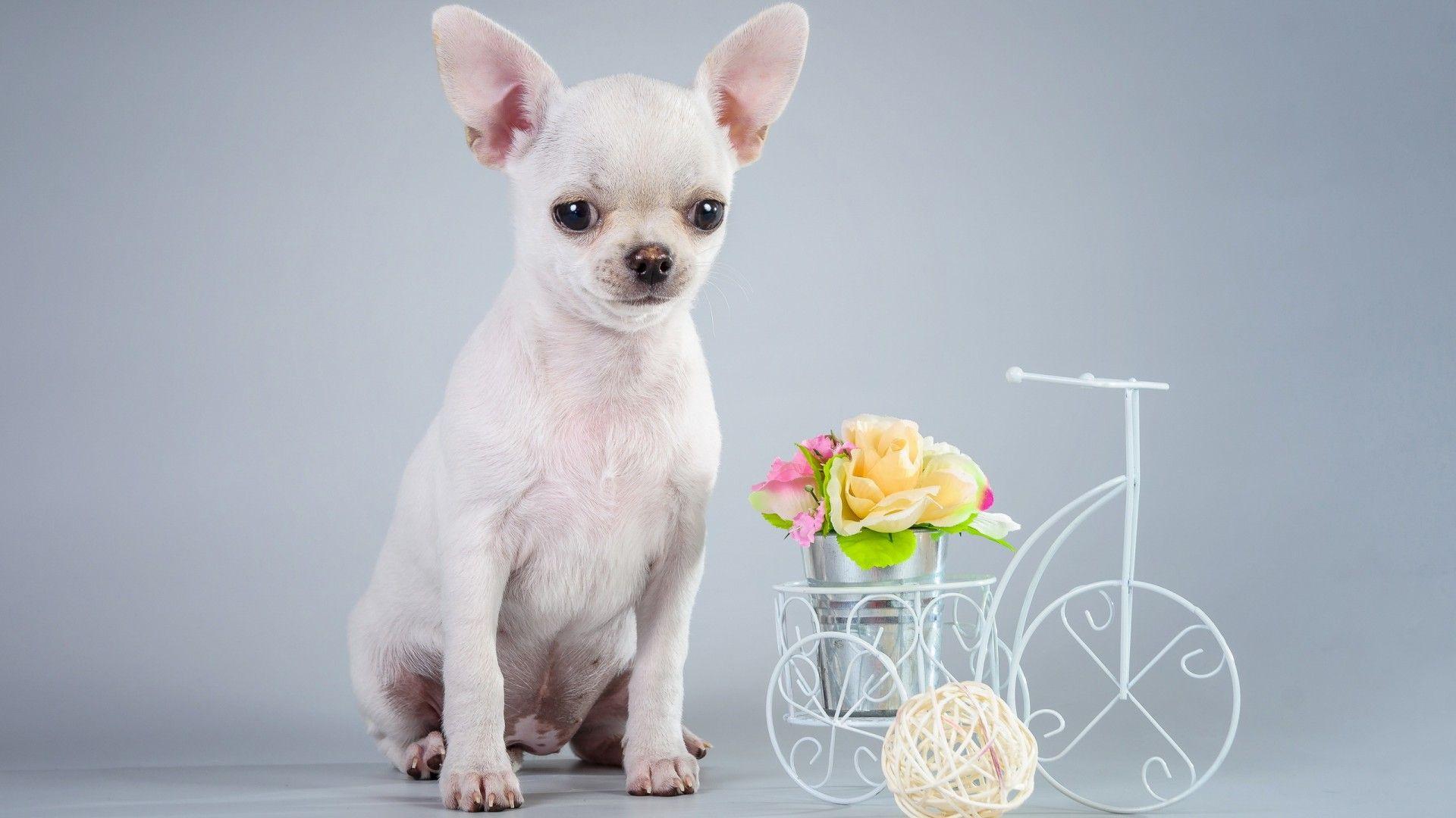 Photoshoot Chihuahua