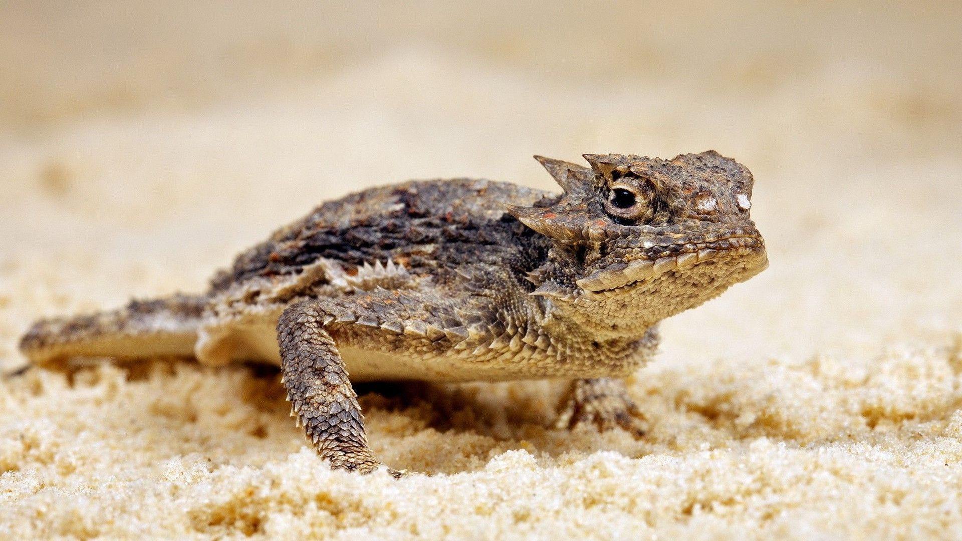 Phrynosoma Zapovednaya Lizard