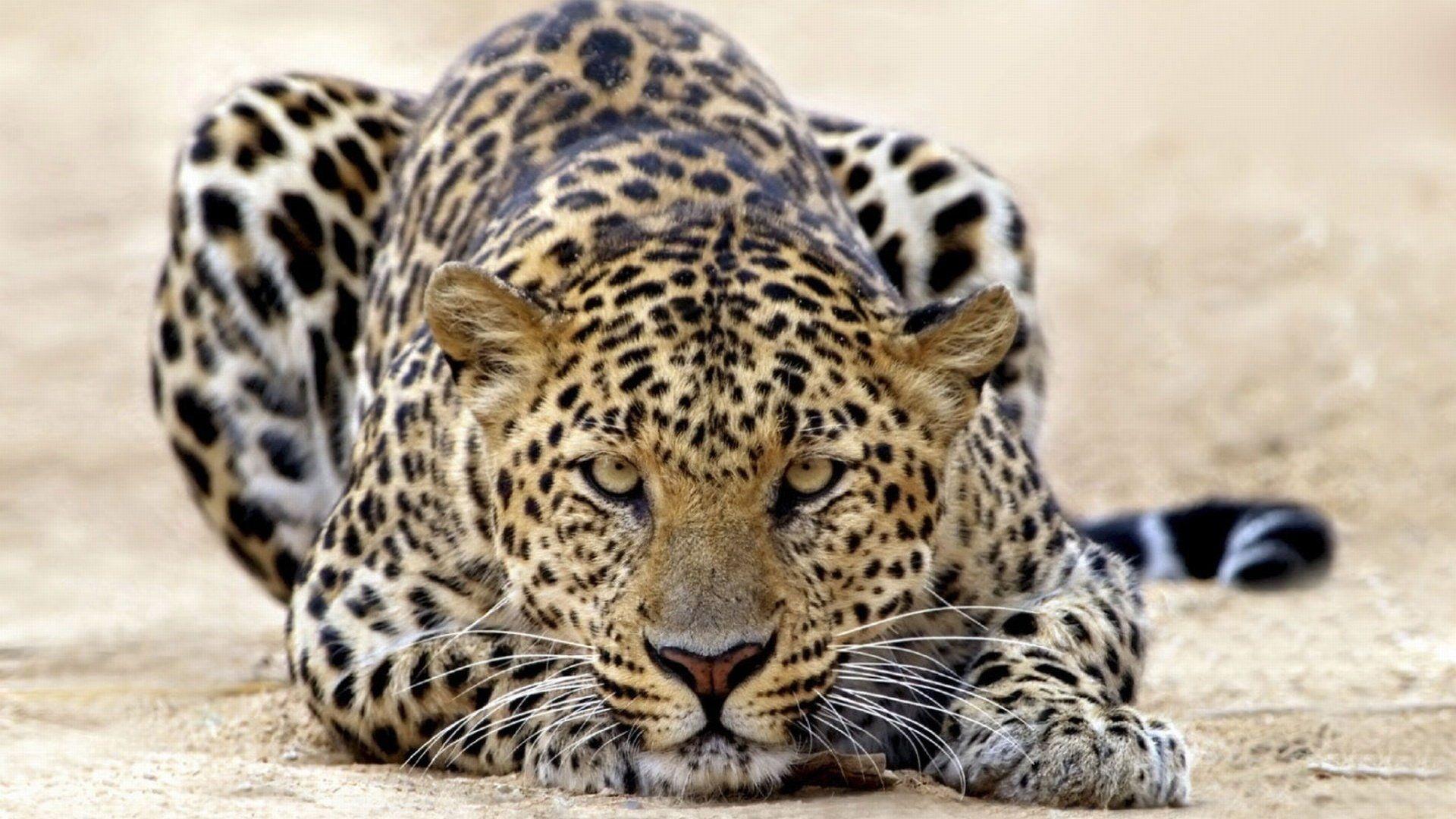 Pics Cool Leopard Leopard