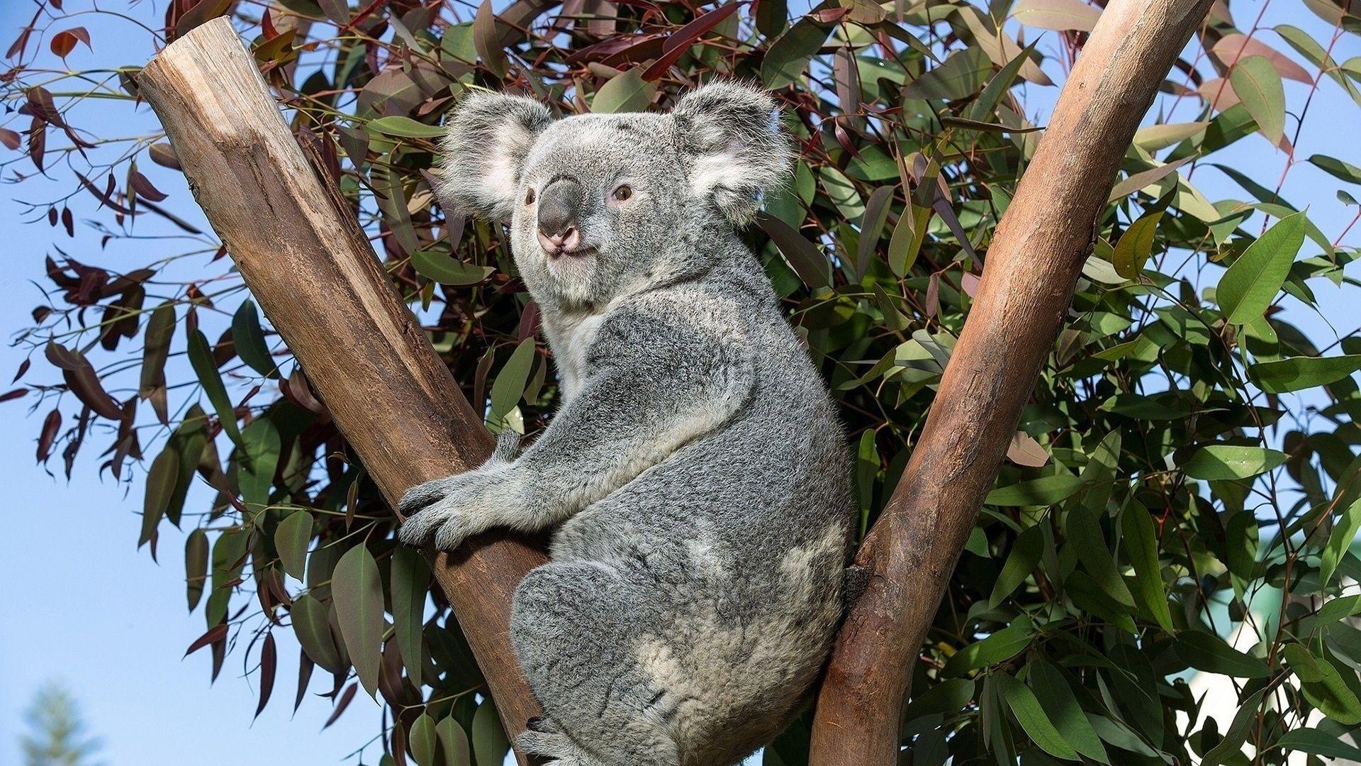 Pictures Koala Animal