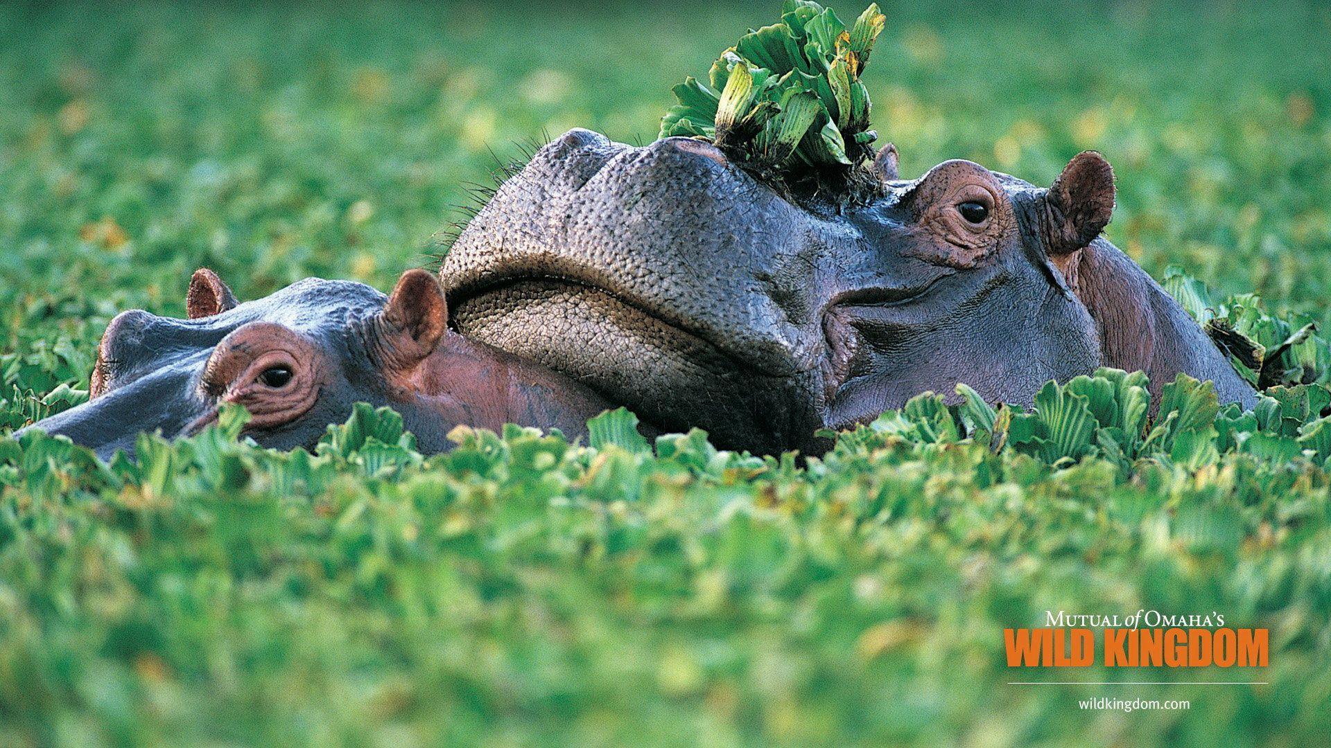 Pictures Animals Hippo