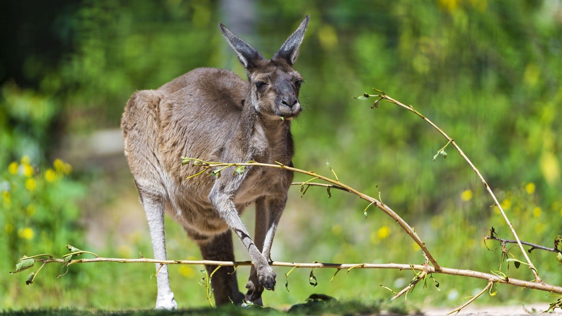Pictures Animals Kangaroo