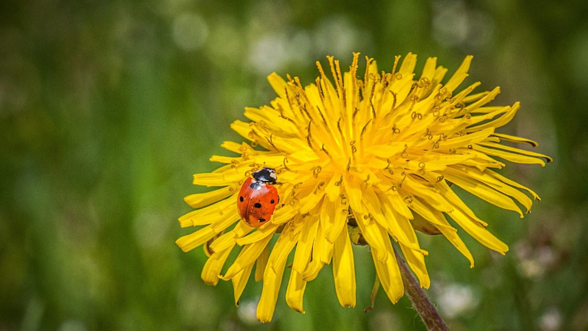 Pictures Bee On A Dandelion