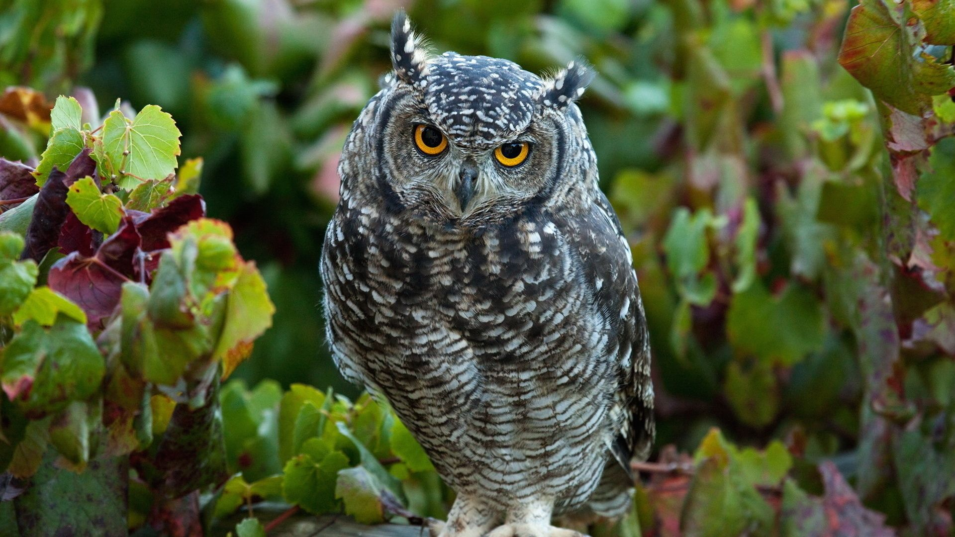 Pictures Birds Owl