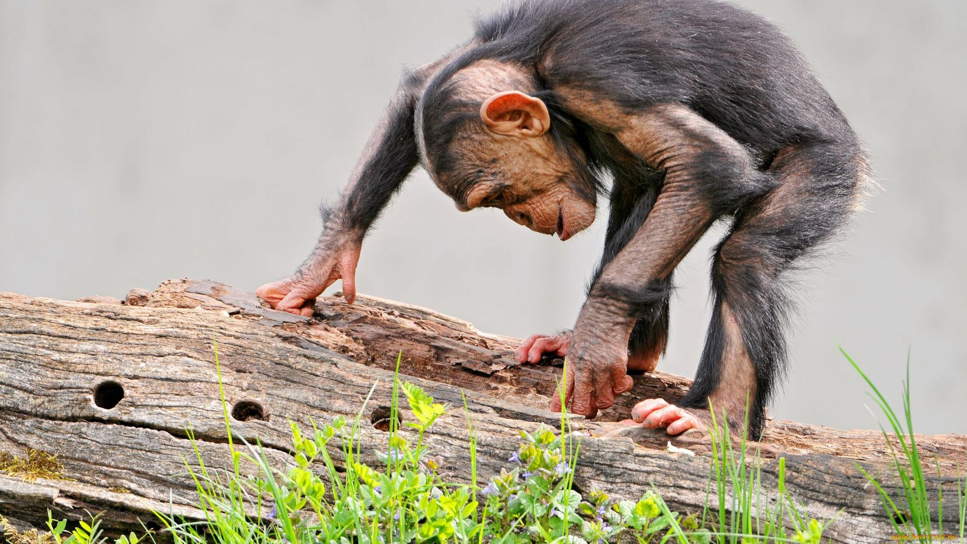 Pictures Chimpanzee Funny