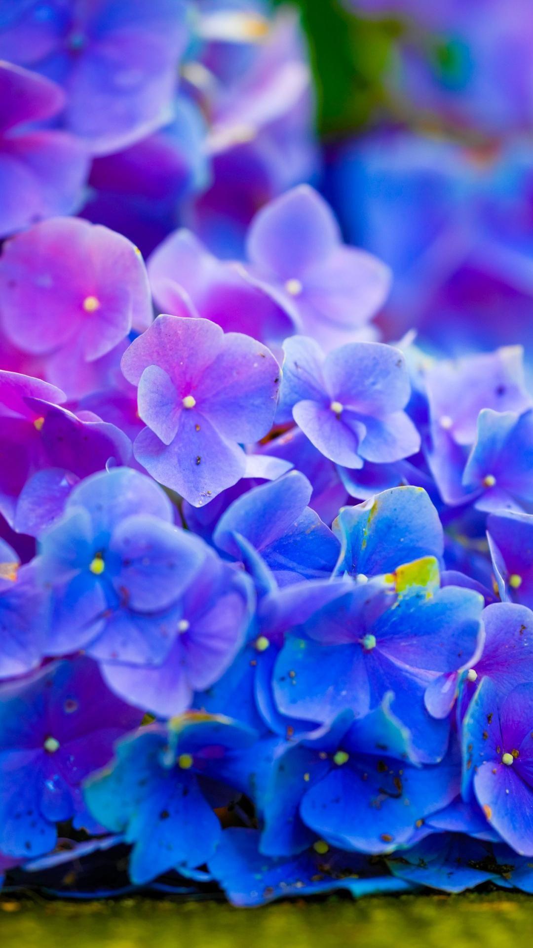 Pictures Desktop Nature Flowers Hydrangeas
