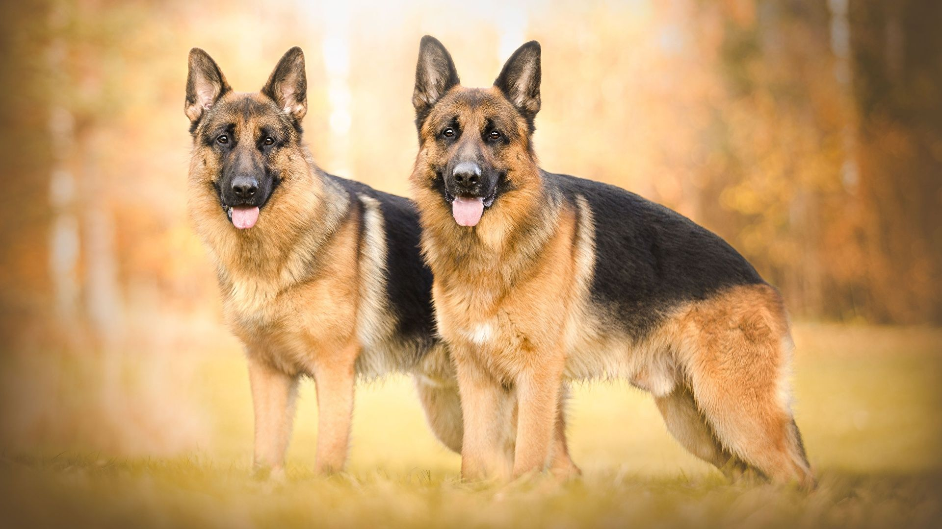 Pictures Dog German Shepherds