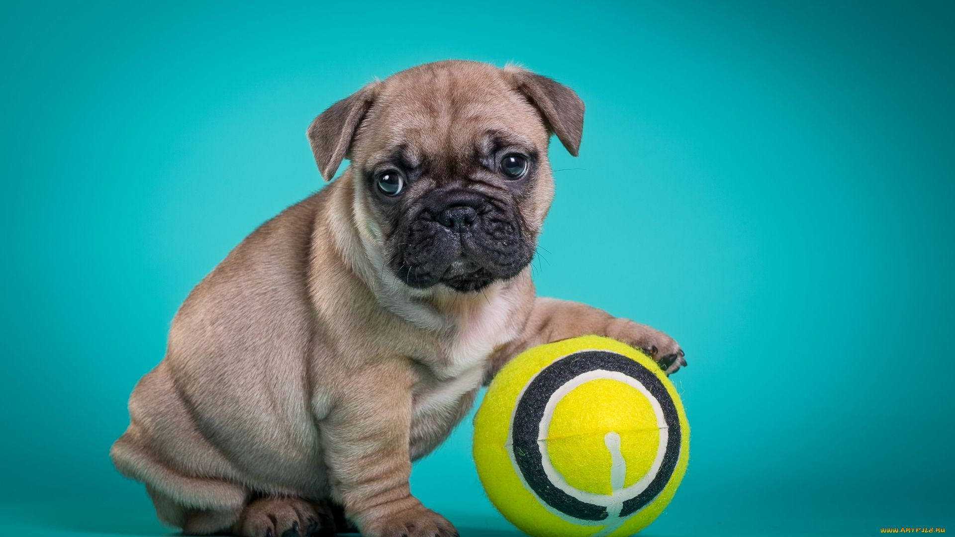 Pictures Dogs French Bulldog