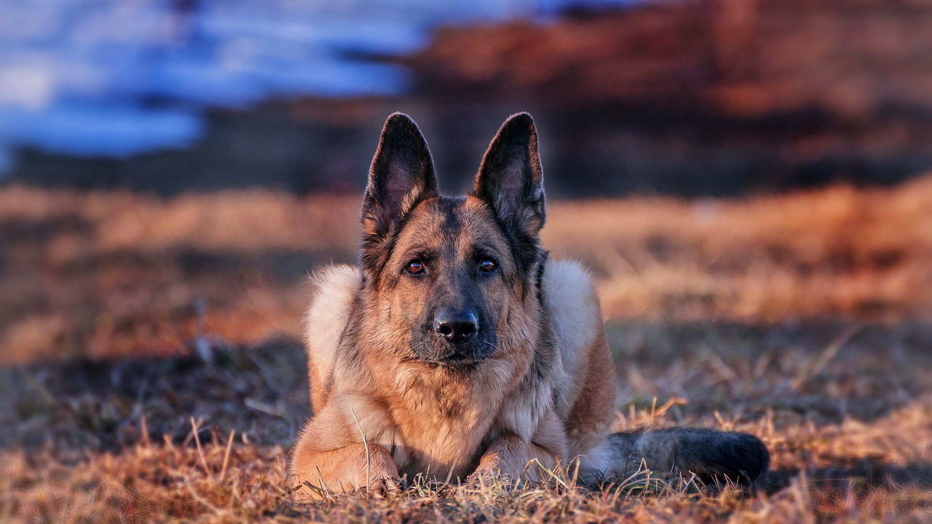 Pictures Dogs German Shepherd