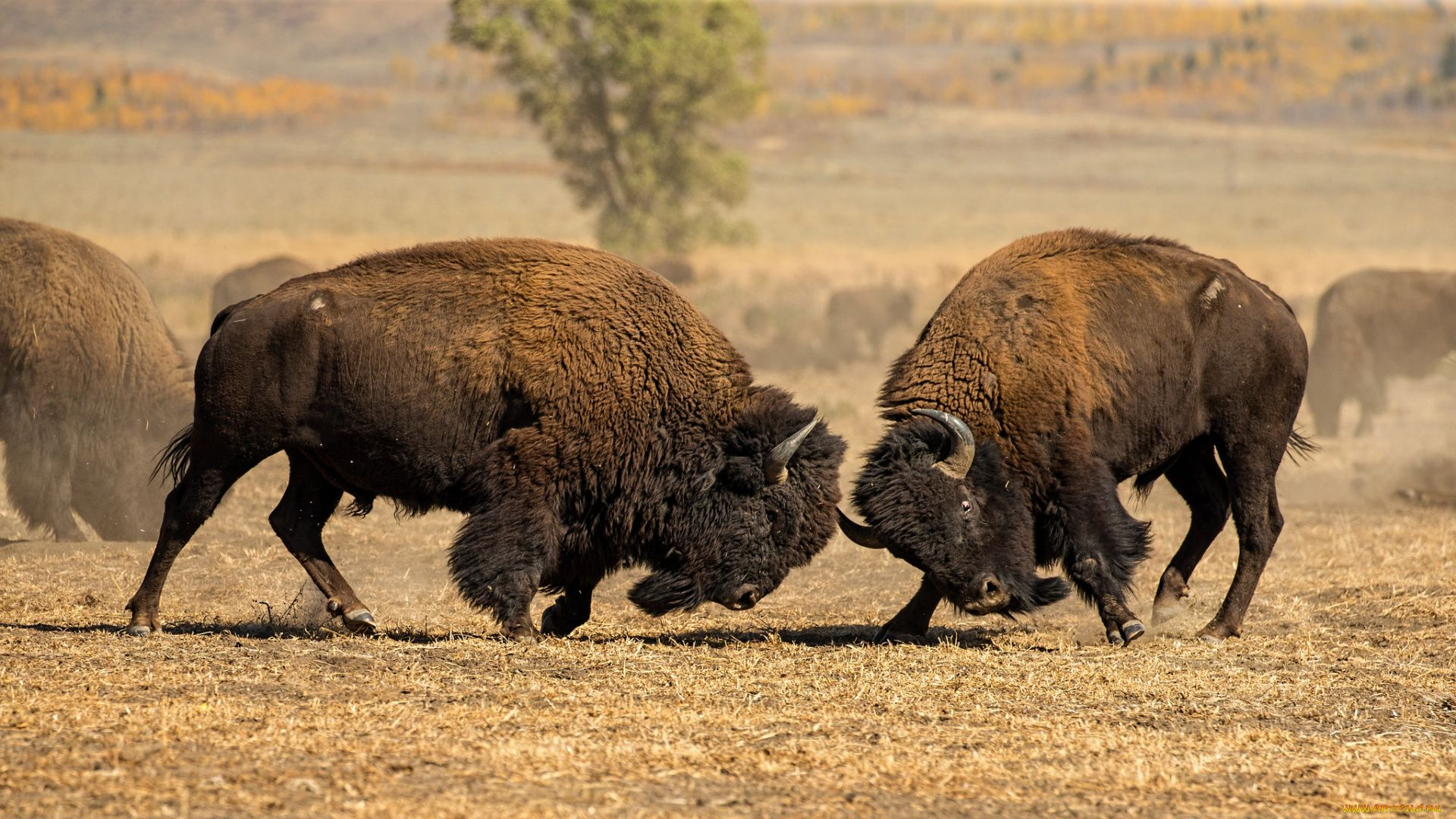 Pictures Of Buffalo And Bison