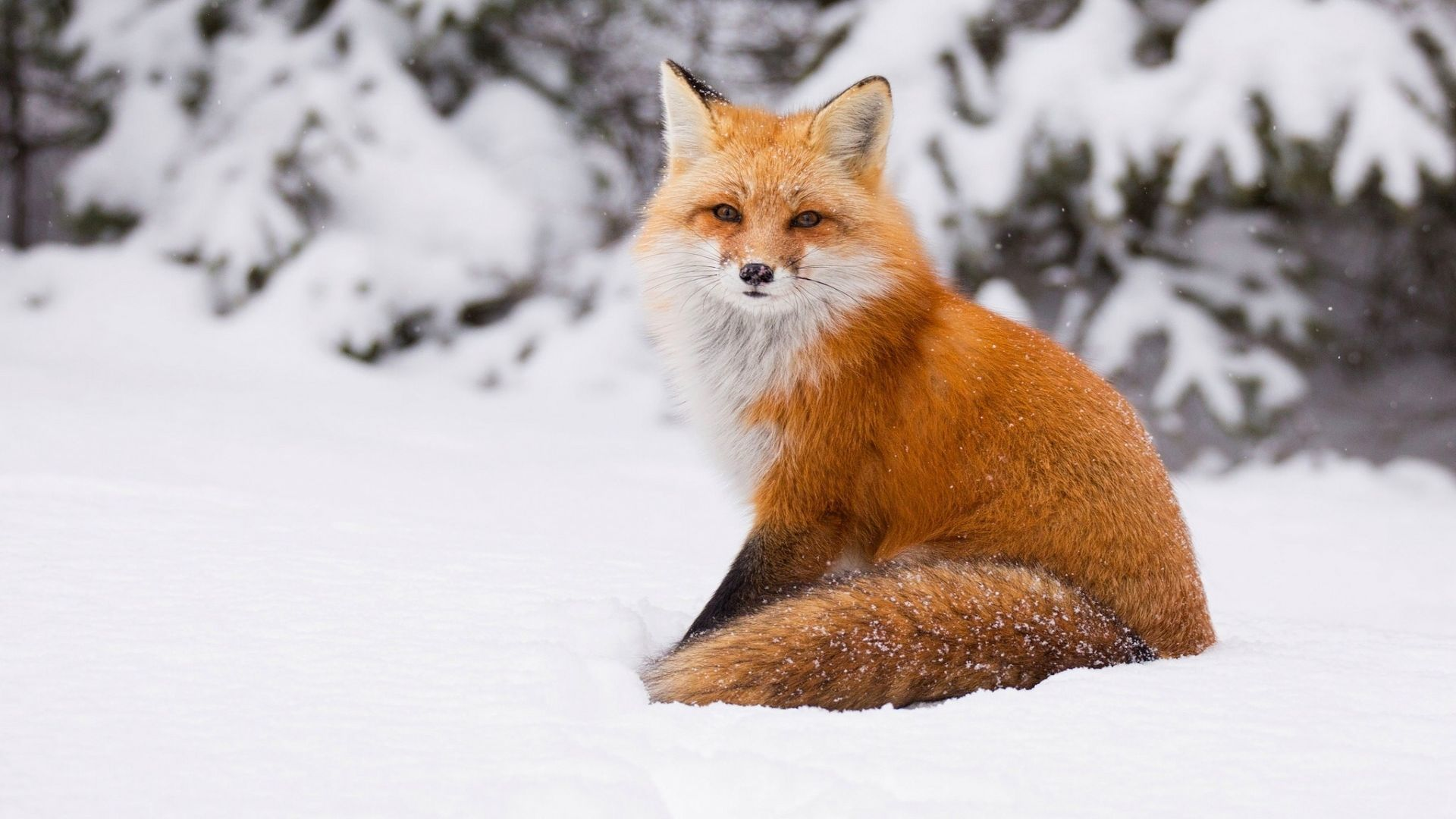 Pictures Of Fox In Winter Forest