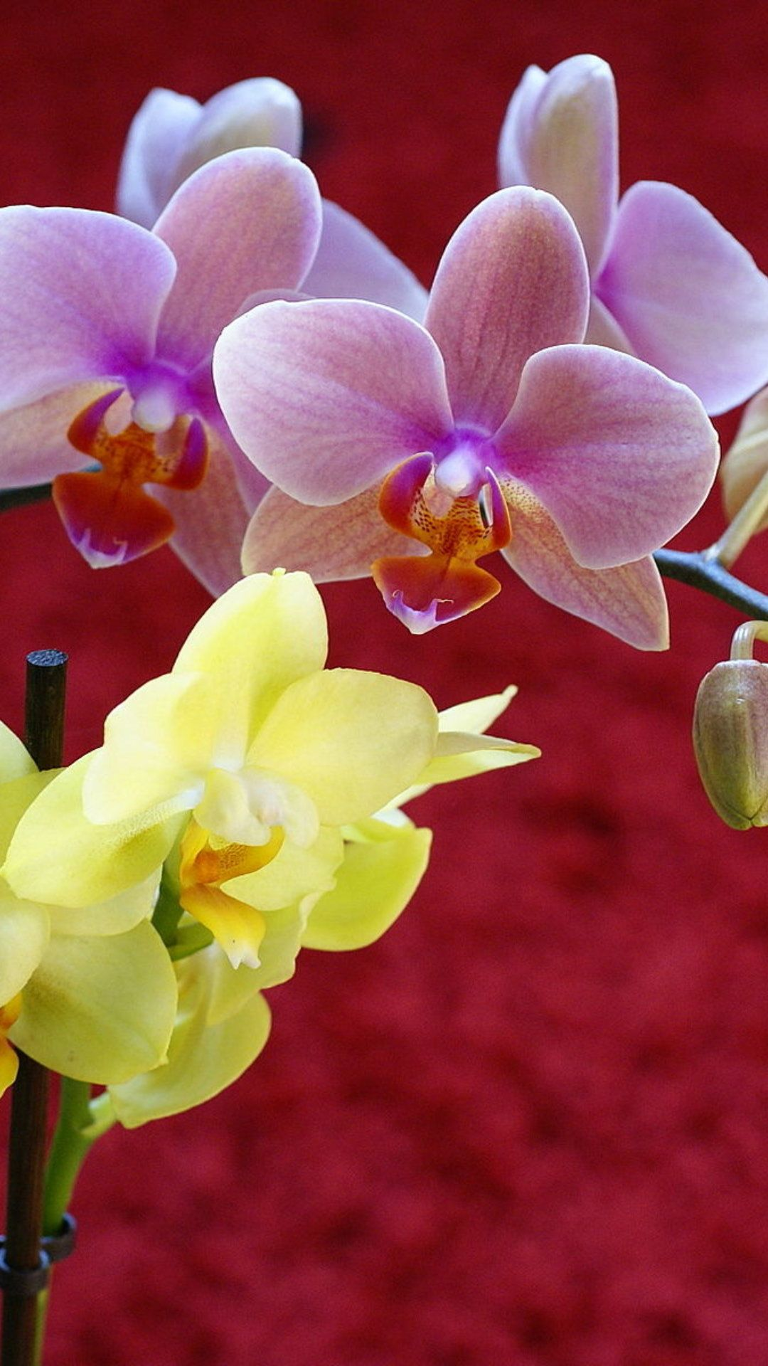 Pictures Of Orchid Beautiful