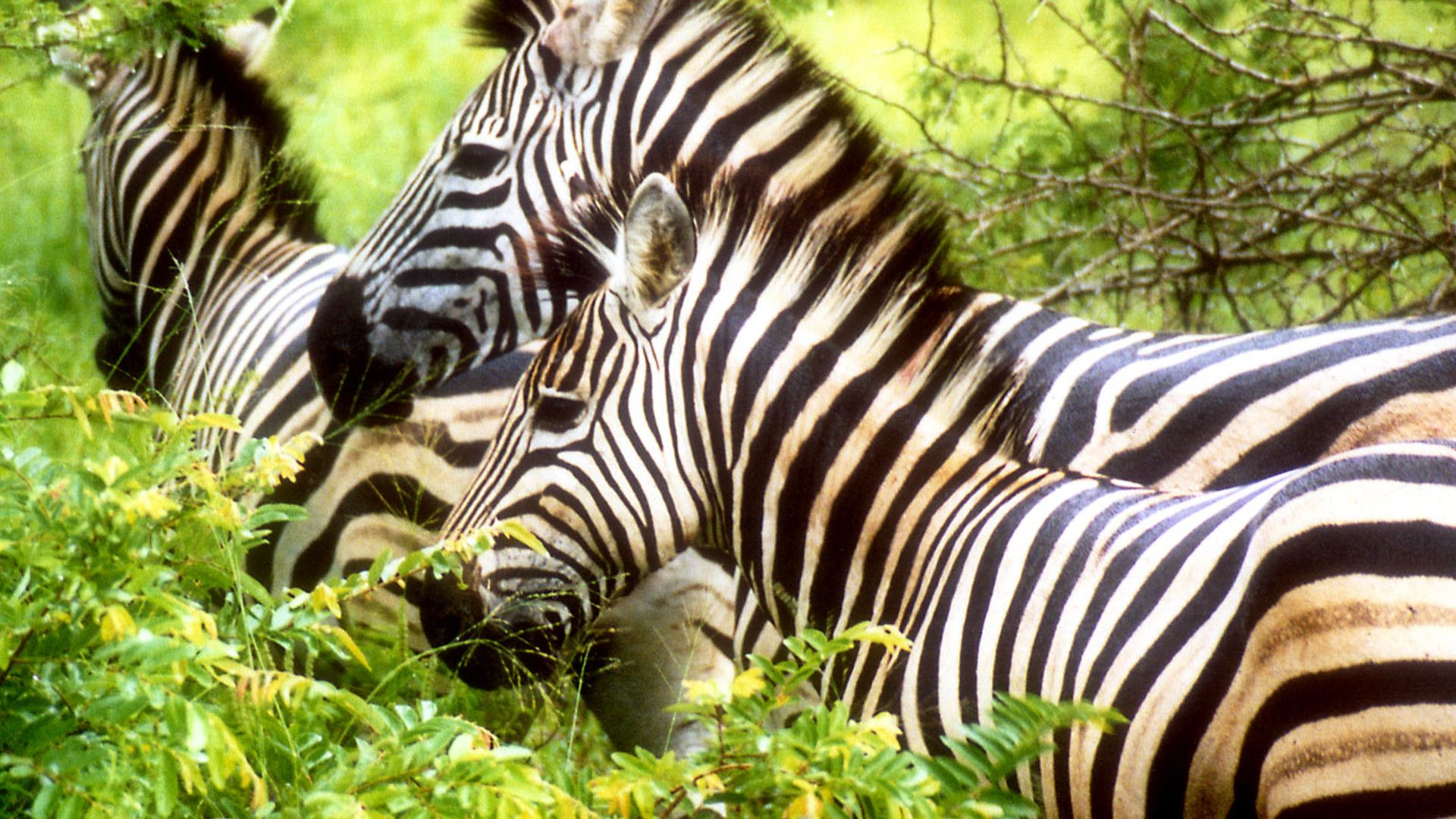 Pictures Of Zebra In The Zoo