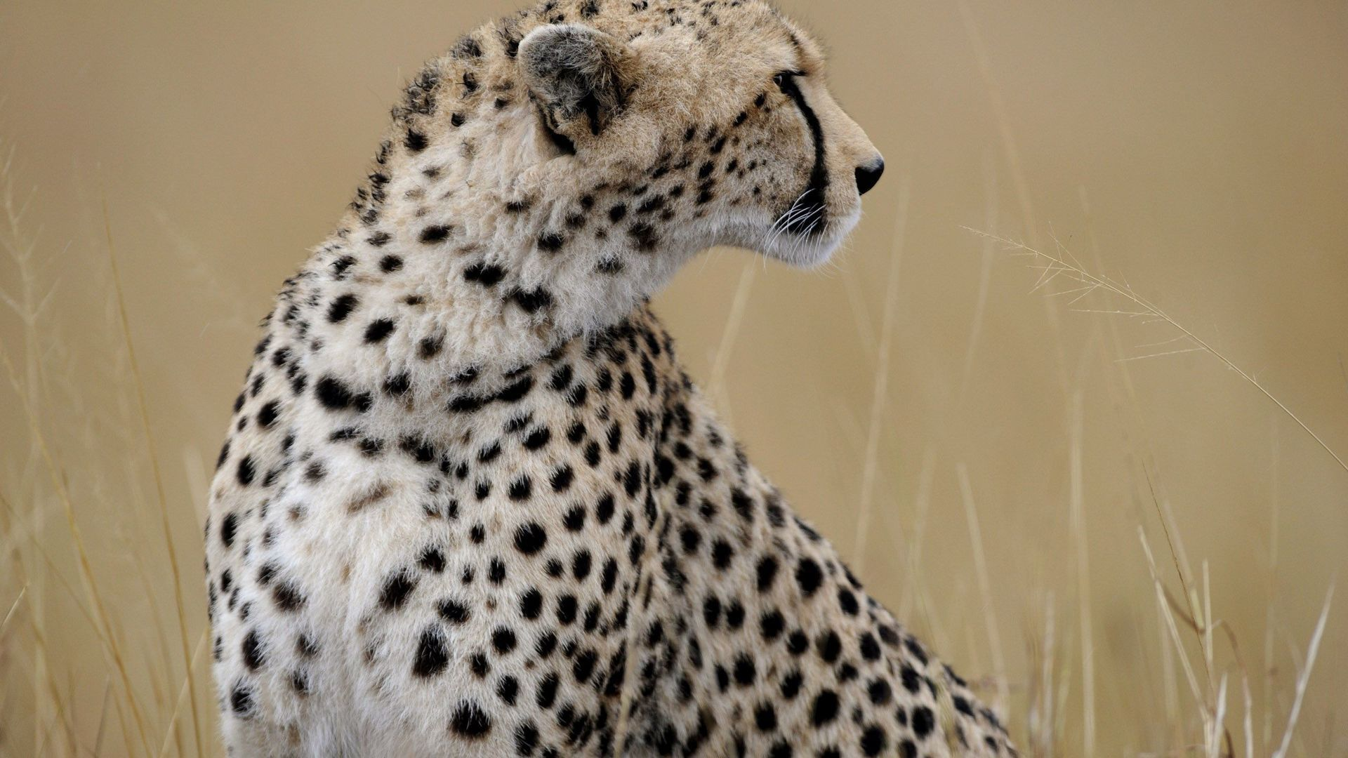 Pictures Of Animals Cheetah