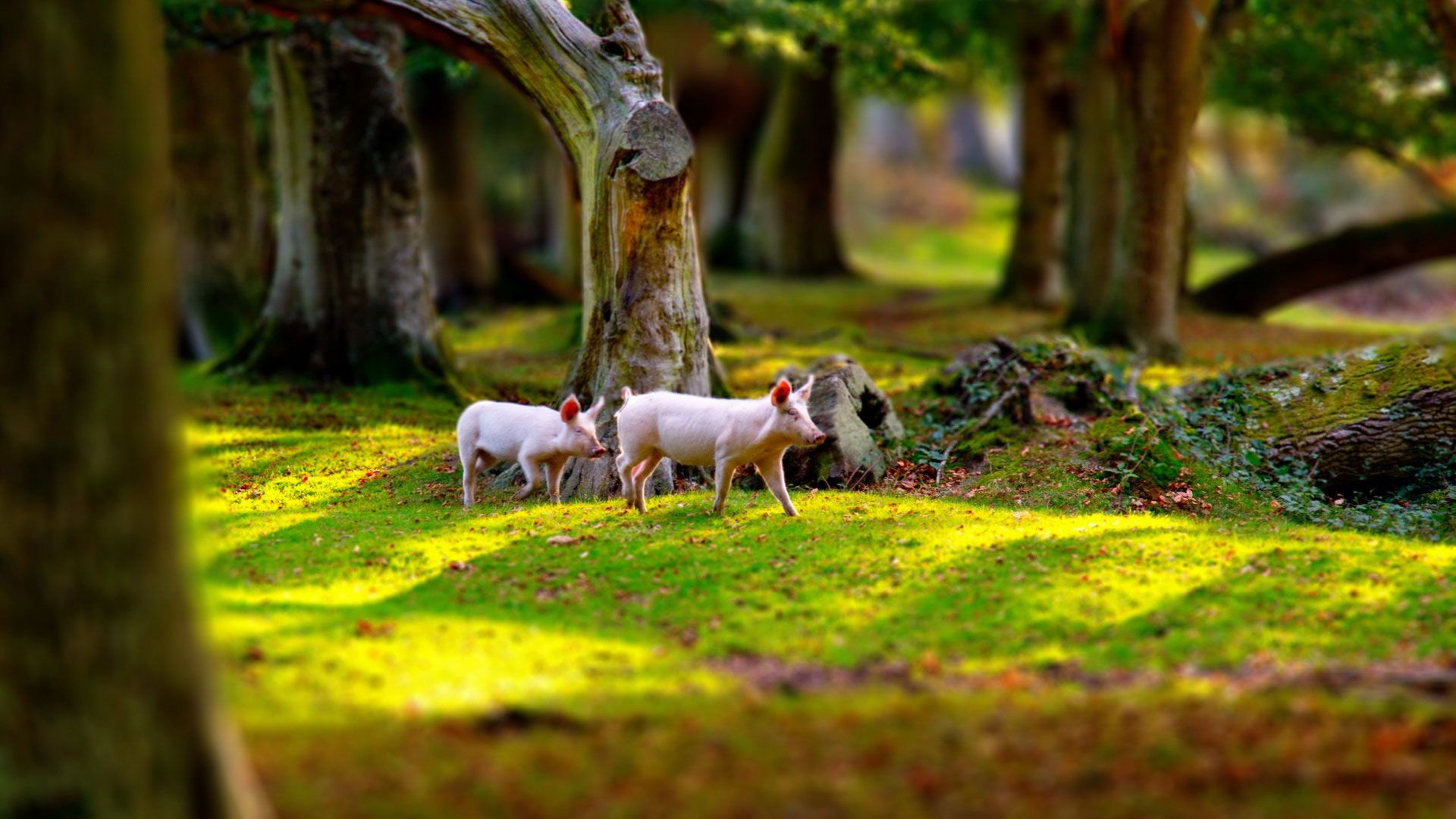 Pictures Of Beautiful Piglets In Nature