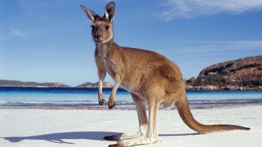 Pictures Of Kangaroos In Australia