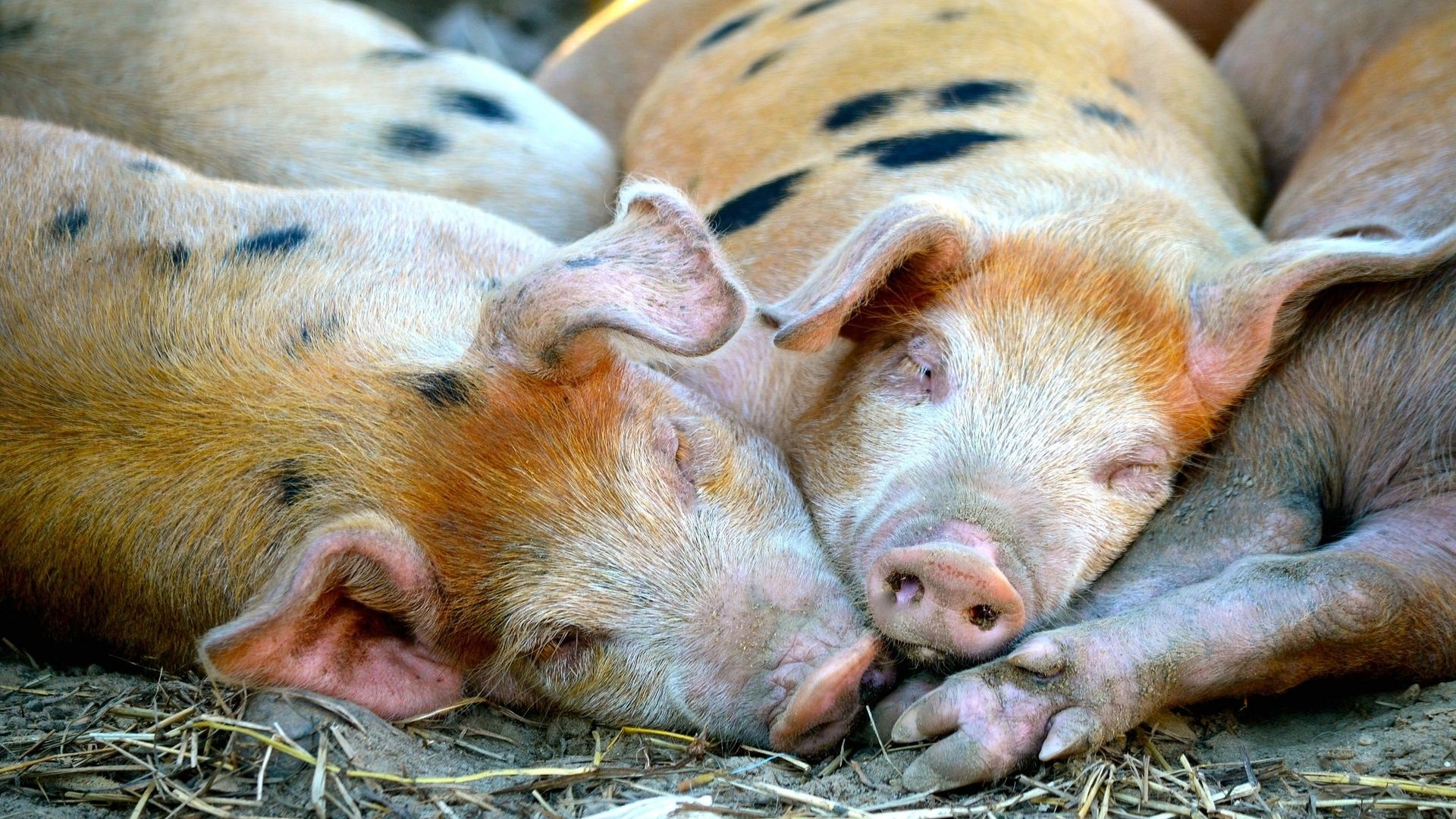Pictures Of Pigs And Piglets
