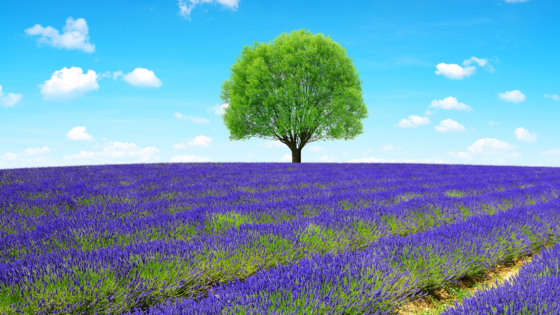 Pictures Of The Lavender Provence