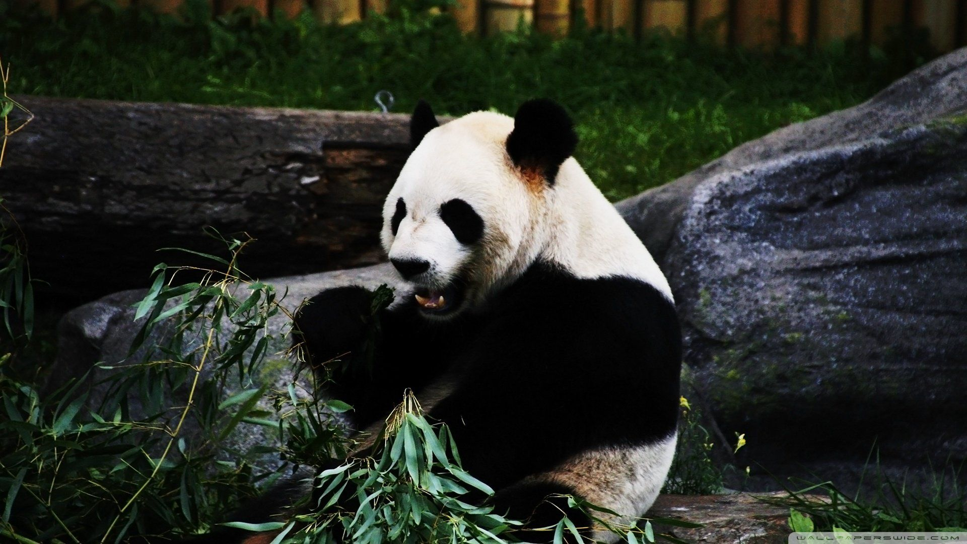 Pictures On A Desktop Of The Panda