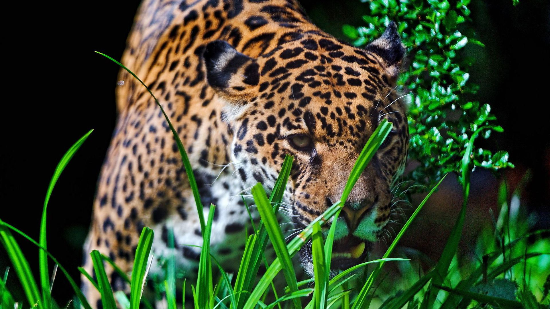 Pictures On Desktop Jaguar