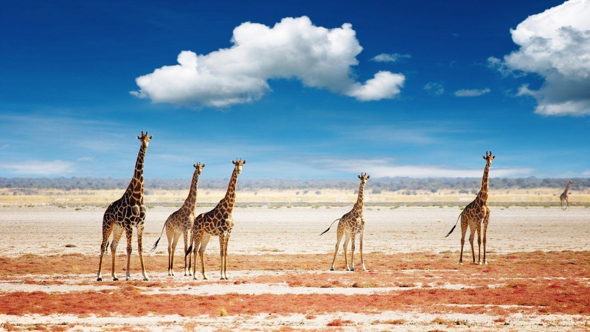 Pictures On The Desktop Giraffes