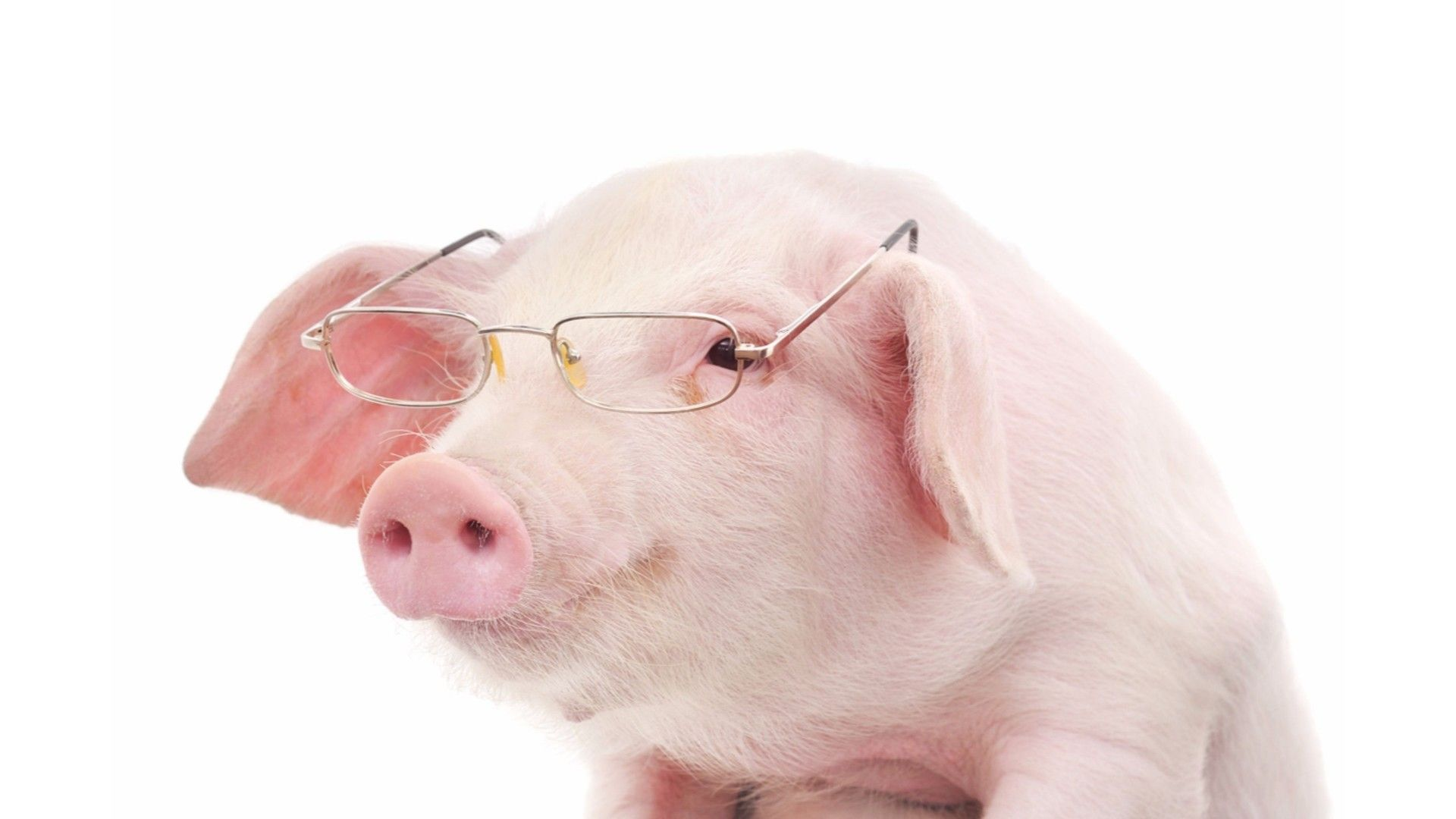 Pig With Glasses Pictures
