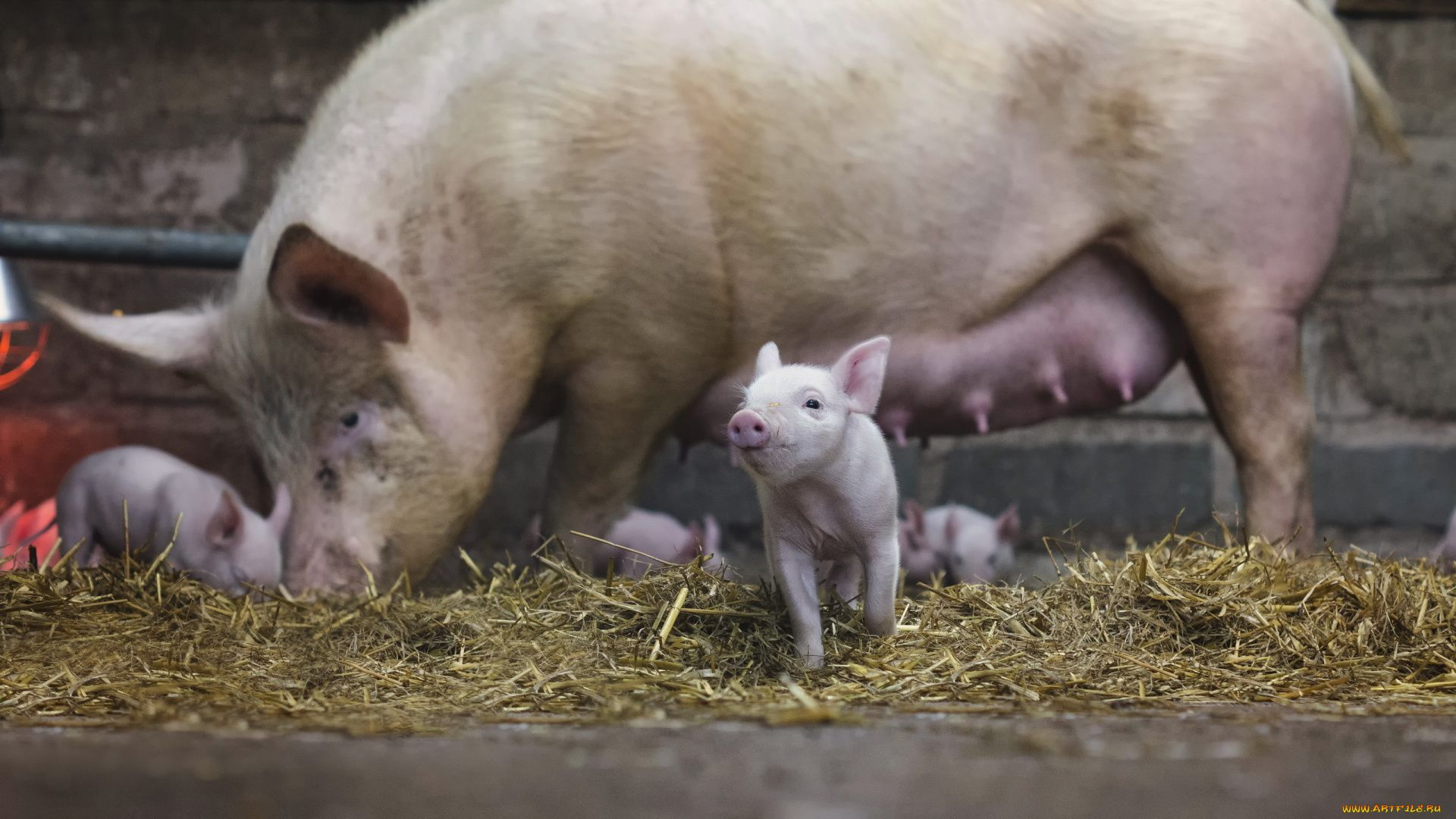 Pig With Piglets Photo