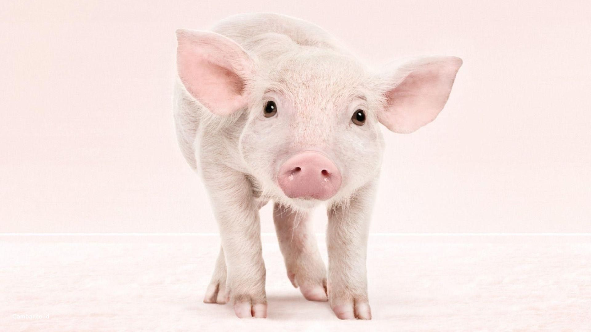 Pigs Pictures