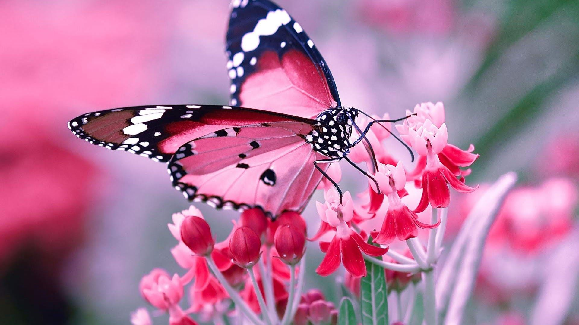 Pink Butterfly Pictures