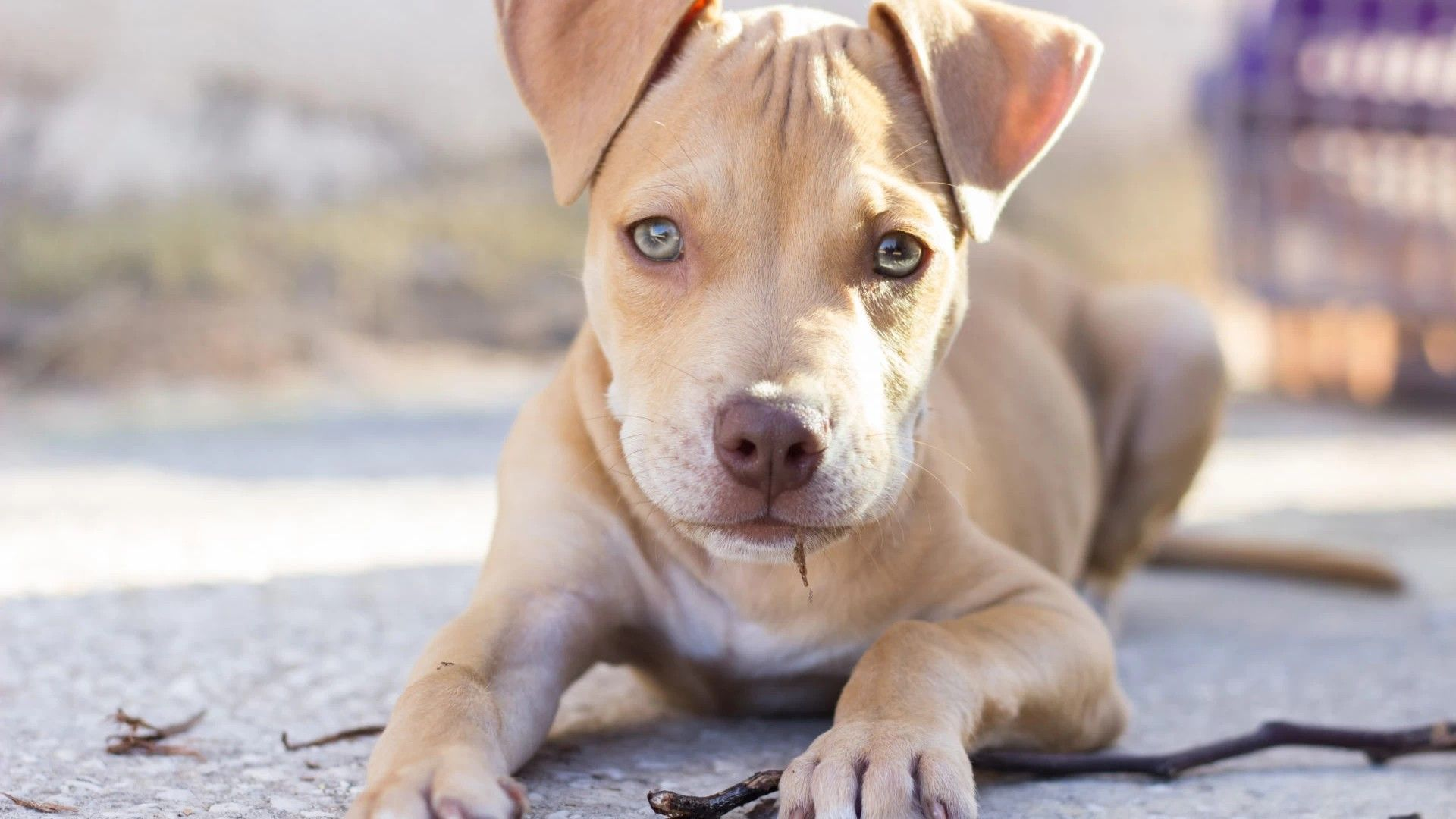 Pit Bull Terrier Wallpapers