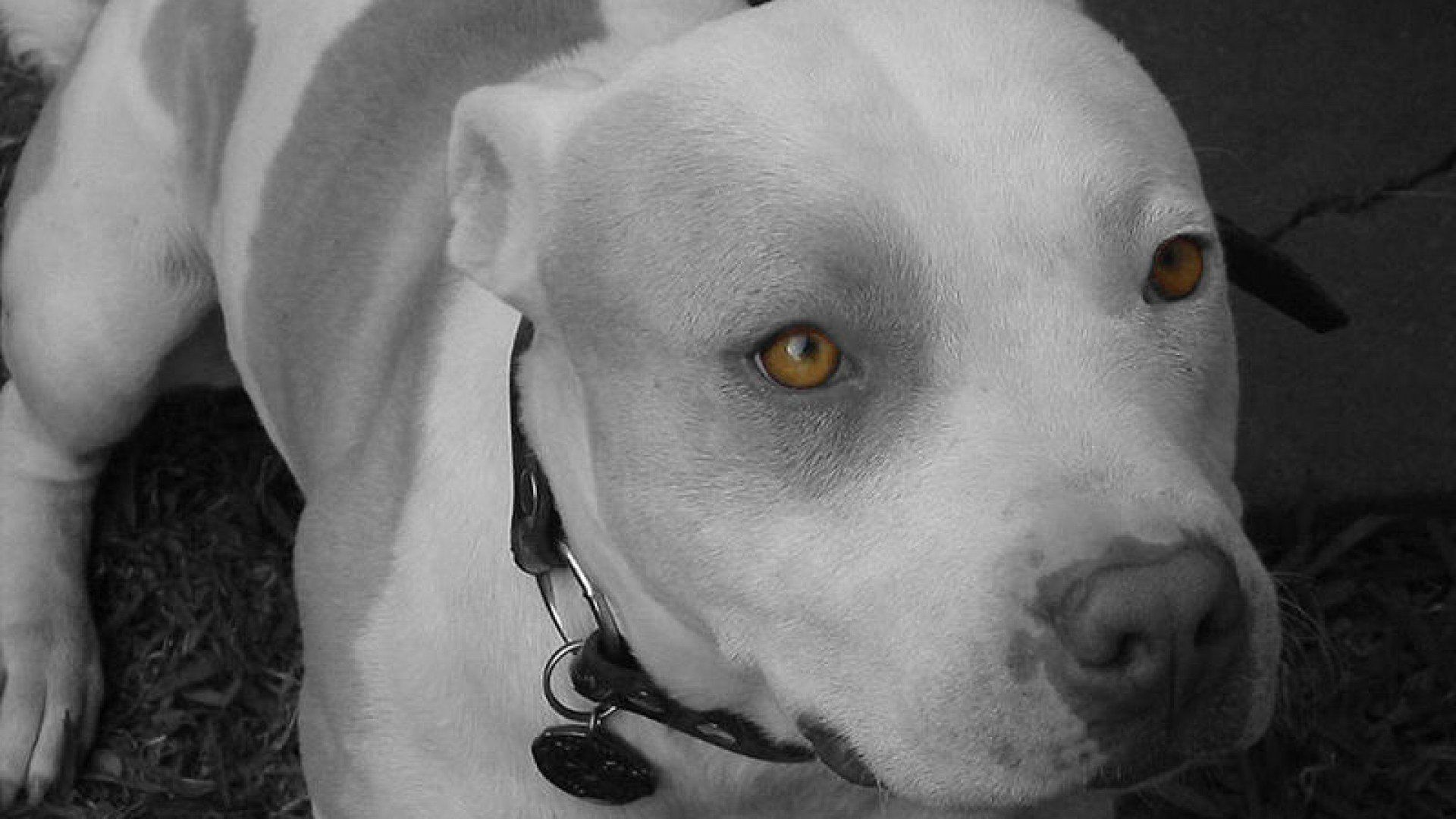 Pit Bull Hd Wallpapers