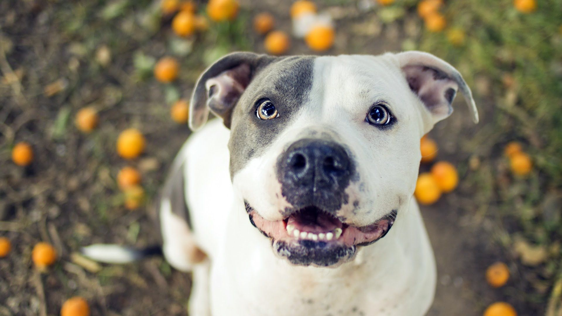 Pit Bull Photo Dog