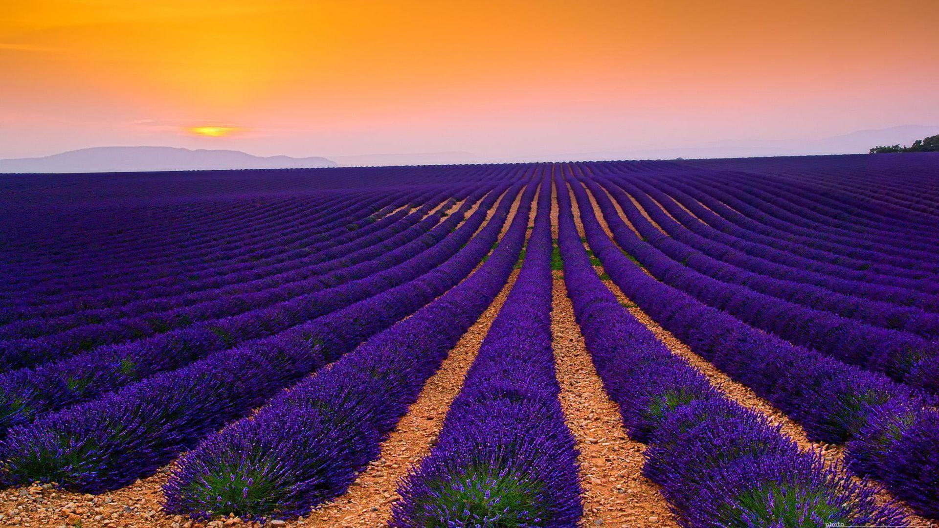 Plantation Lavender