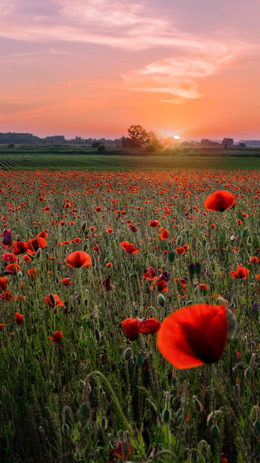 Poppies At Sunset Pictures