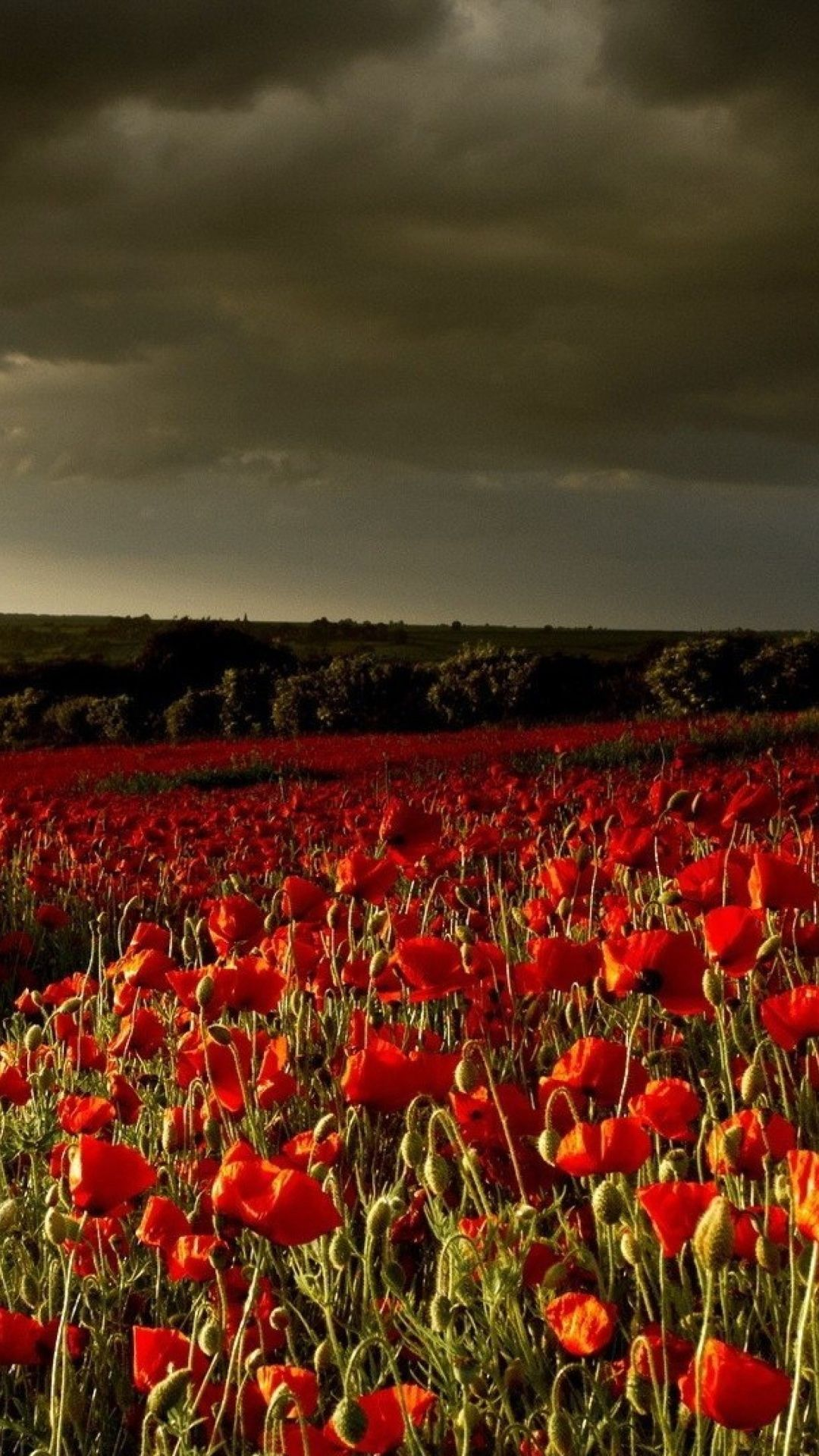 Poppy Field Desktop Wallpaper