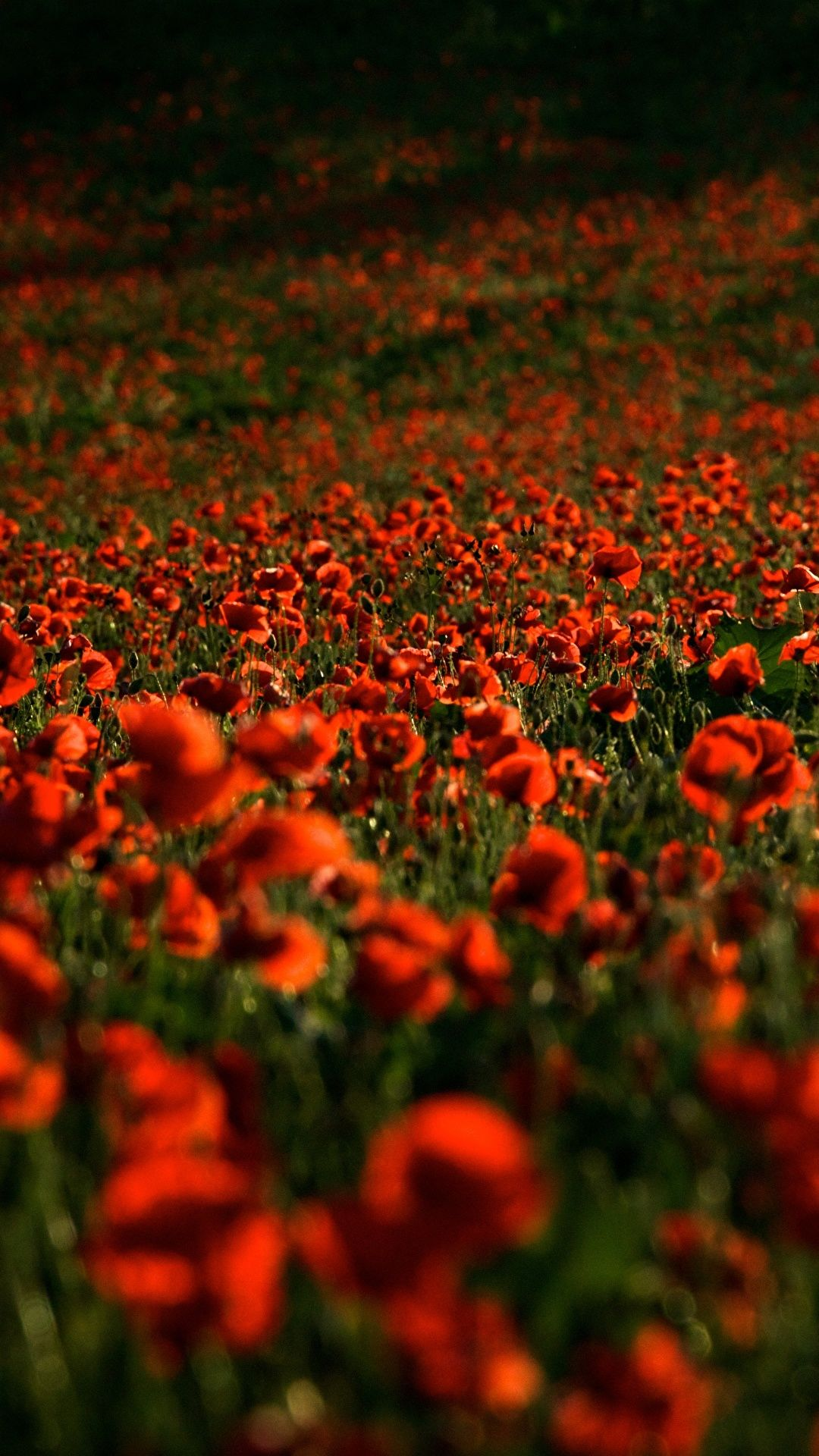 Poppy Field High Resolution Photo
