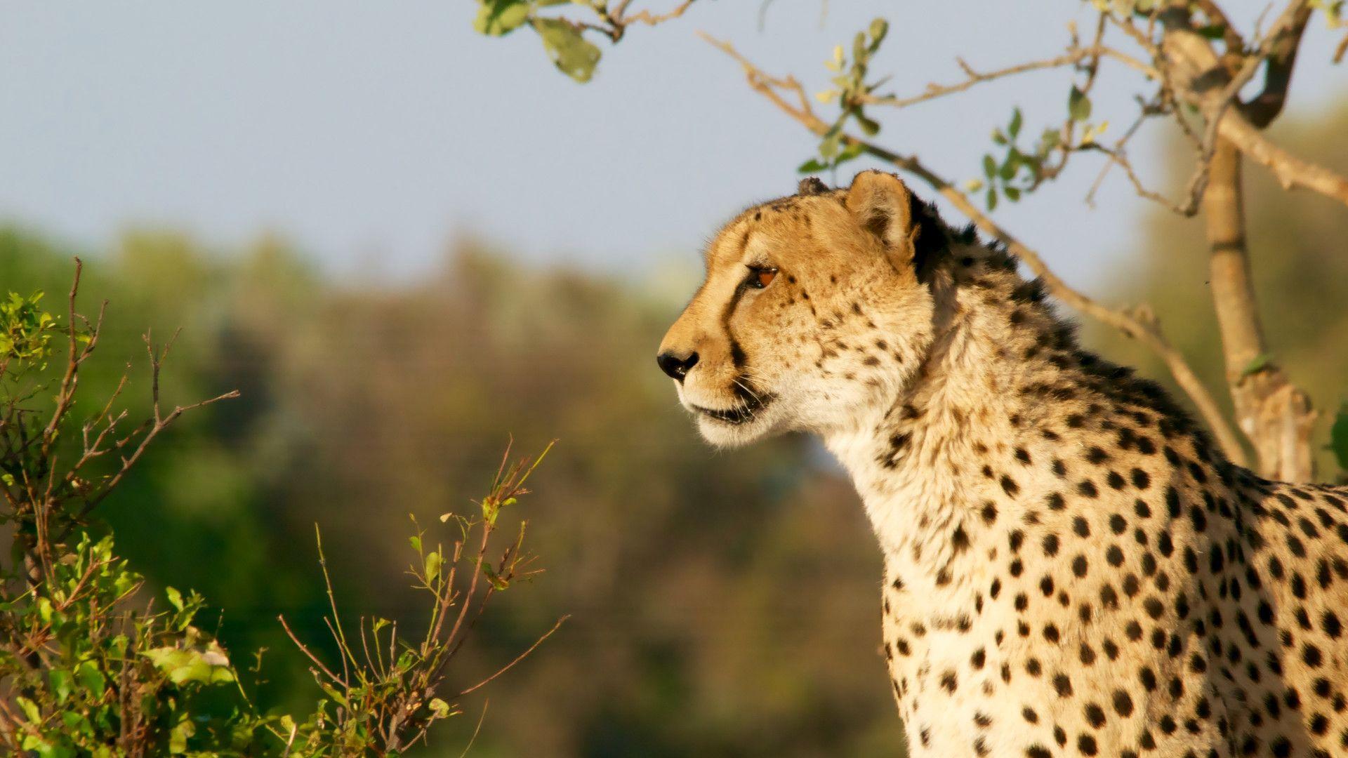Predatory Animals Of The Savannah