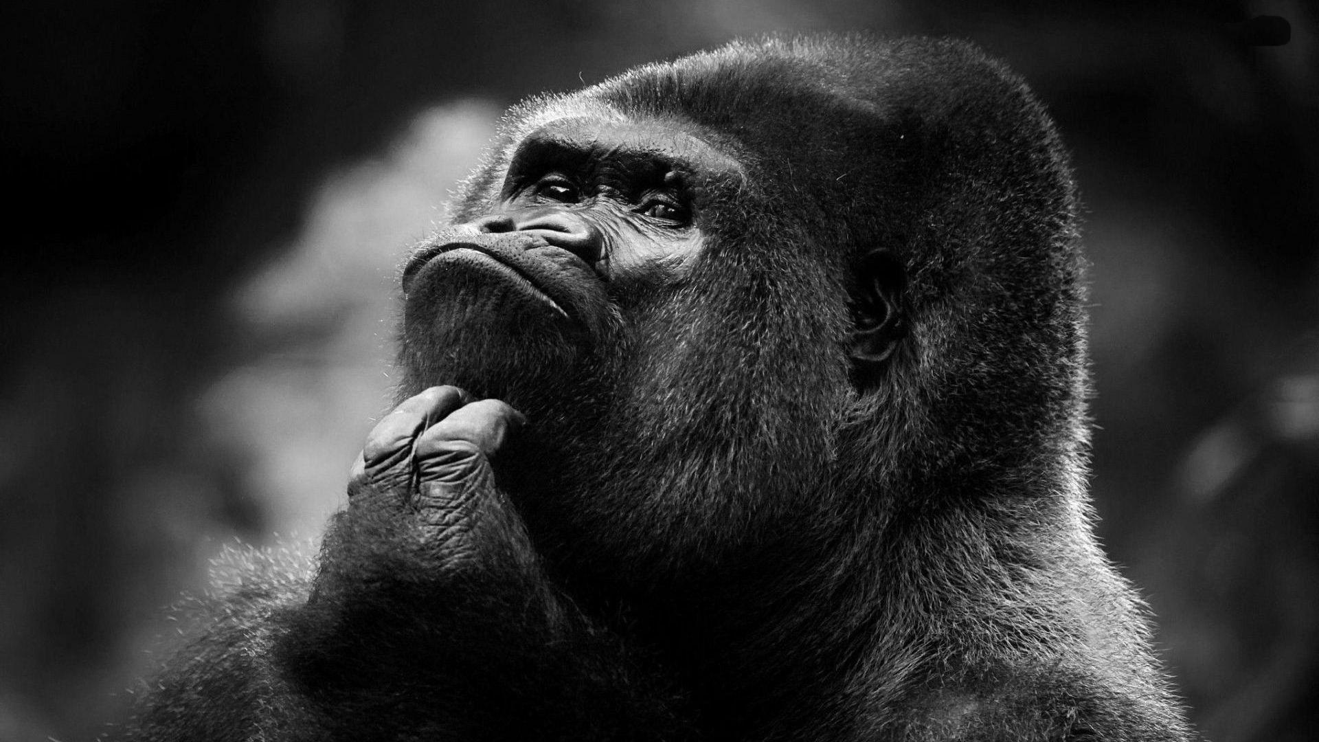 Primates Gorilla