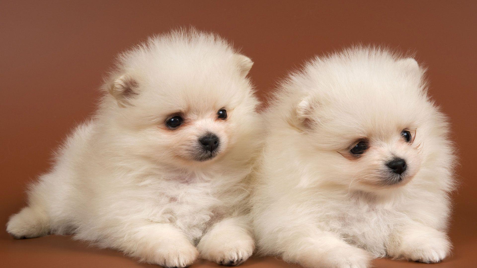 Puppies Spitz