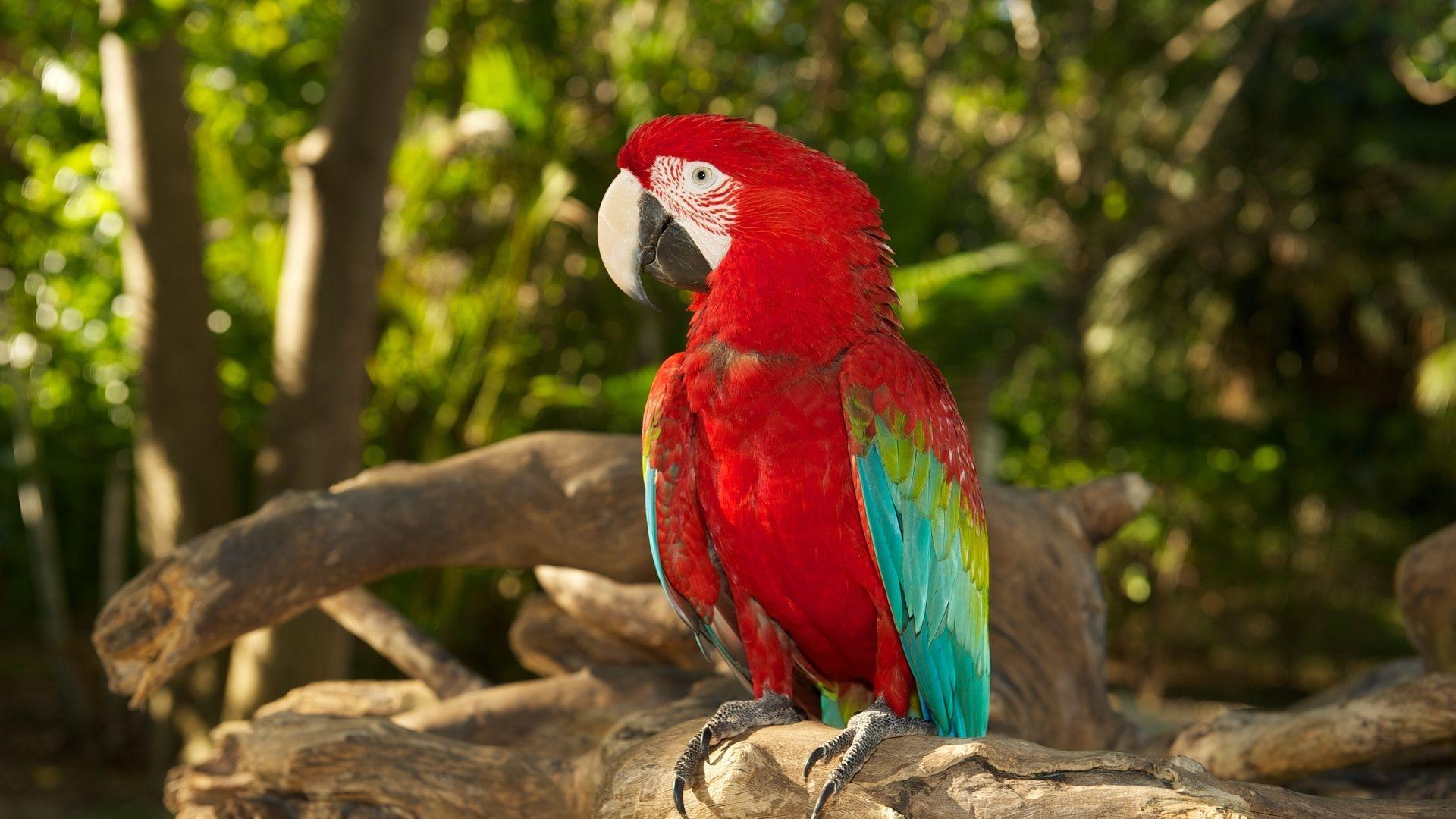 Rainbow Lorikeet Macaw Red