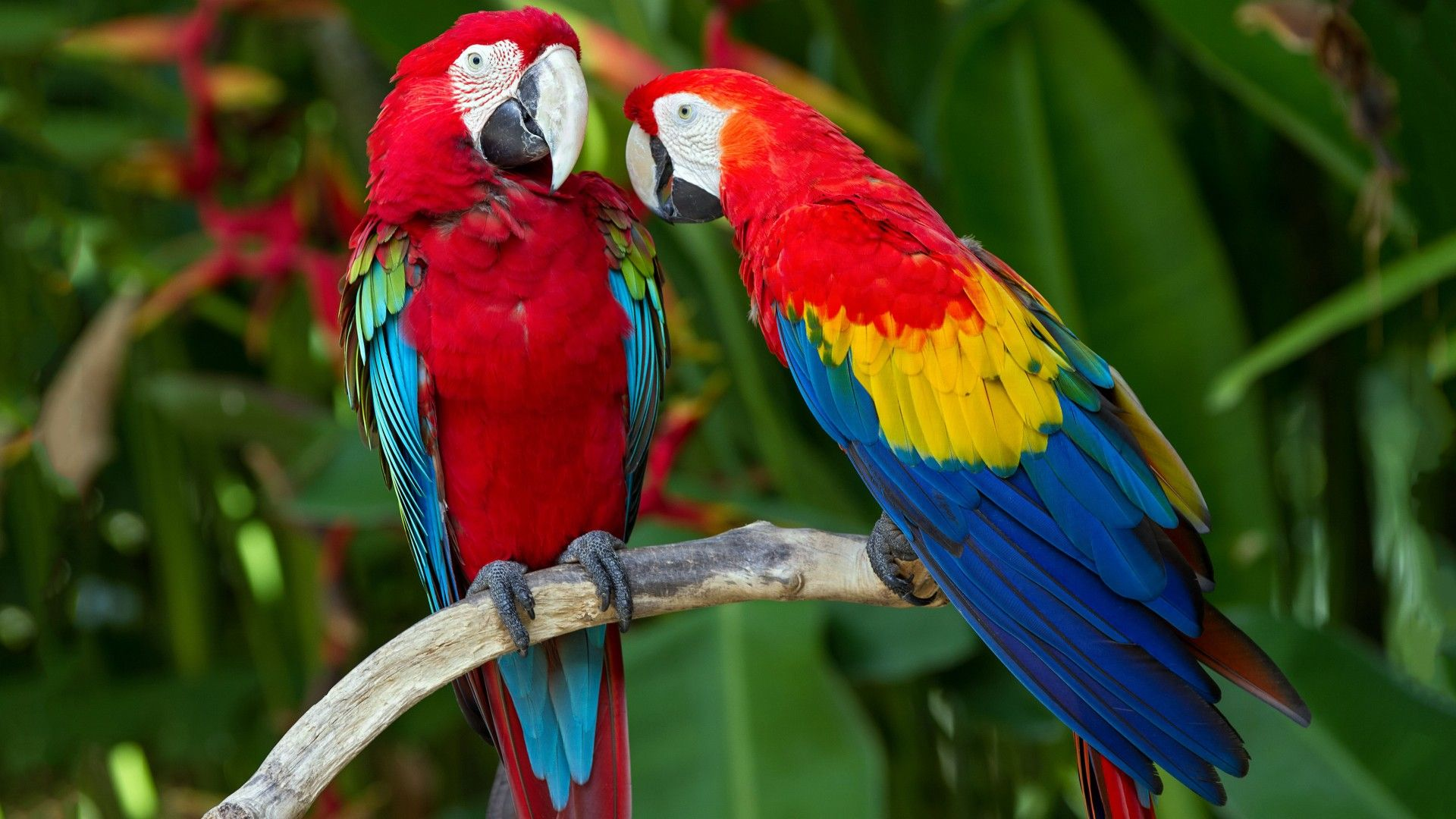Red Blue Parrot