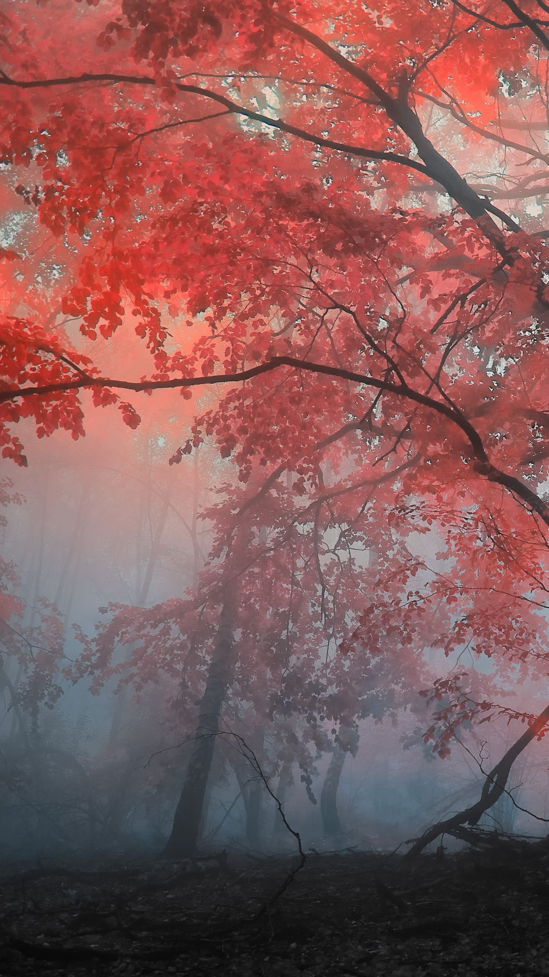 Red Woods In Fog