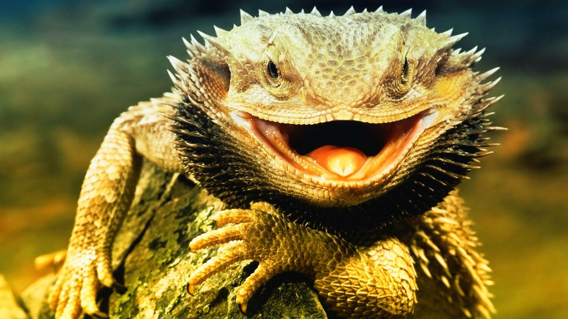 Reptiles Bearded Agama