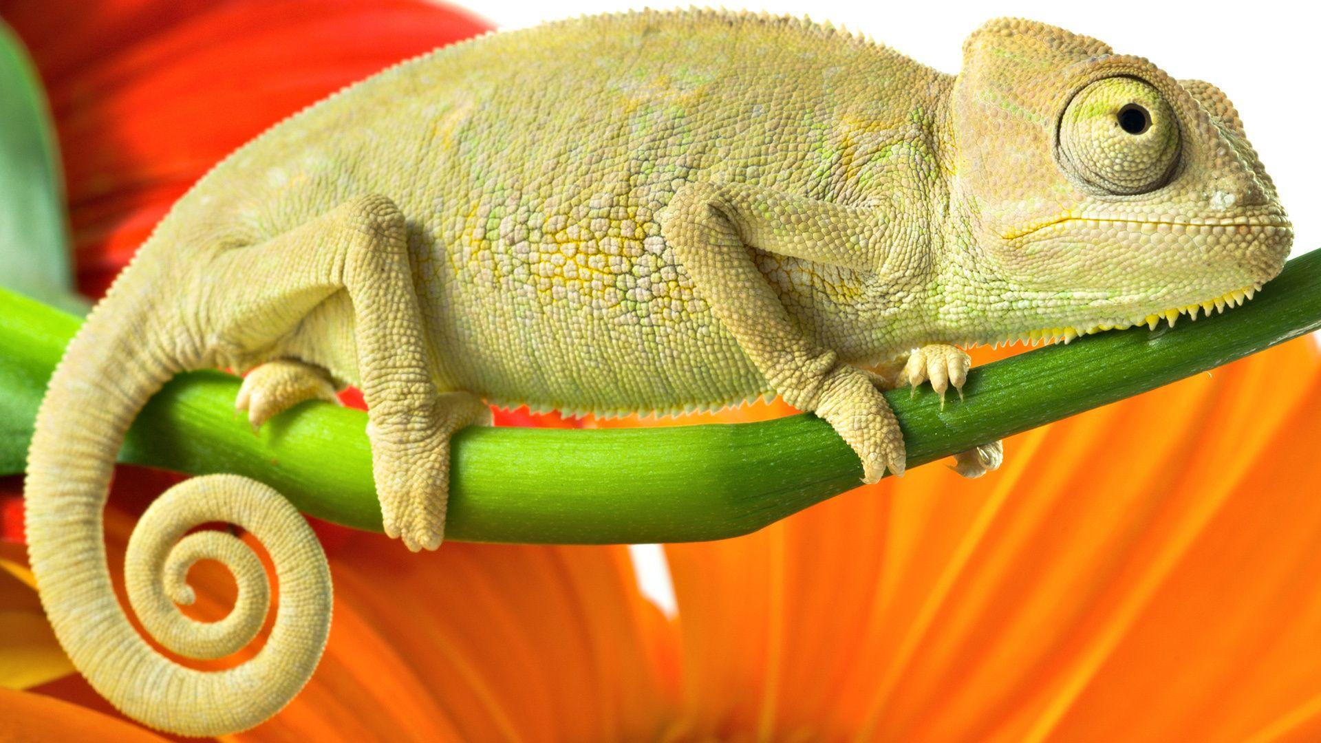 Reptiles Chameleon
