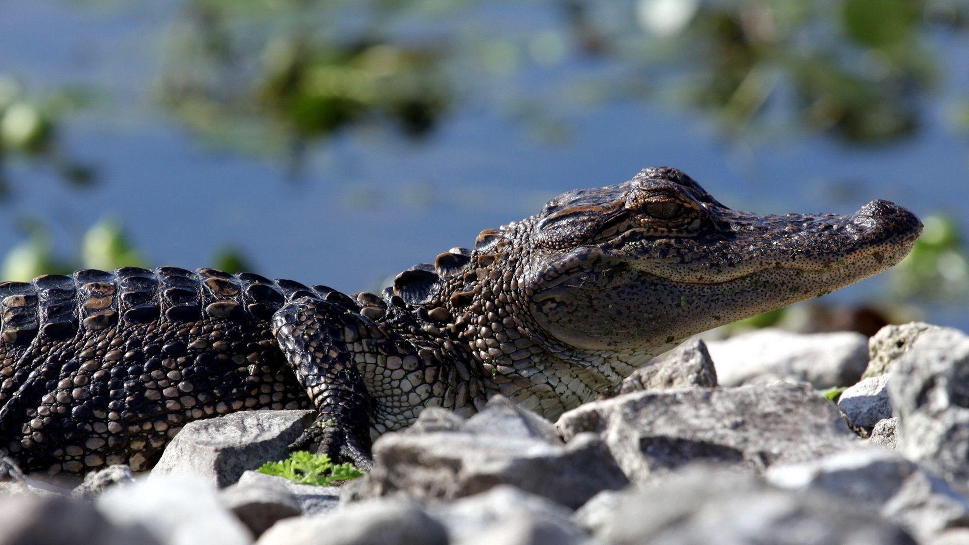 Reptiles Crocodiles