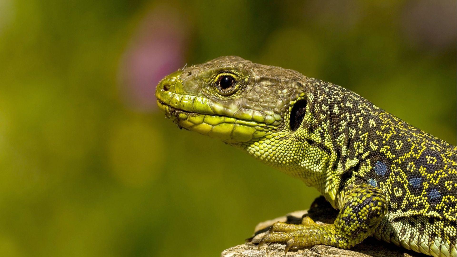 Reptiles Lizards