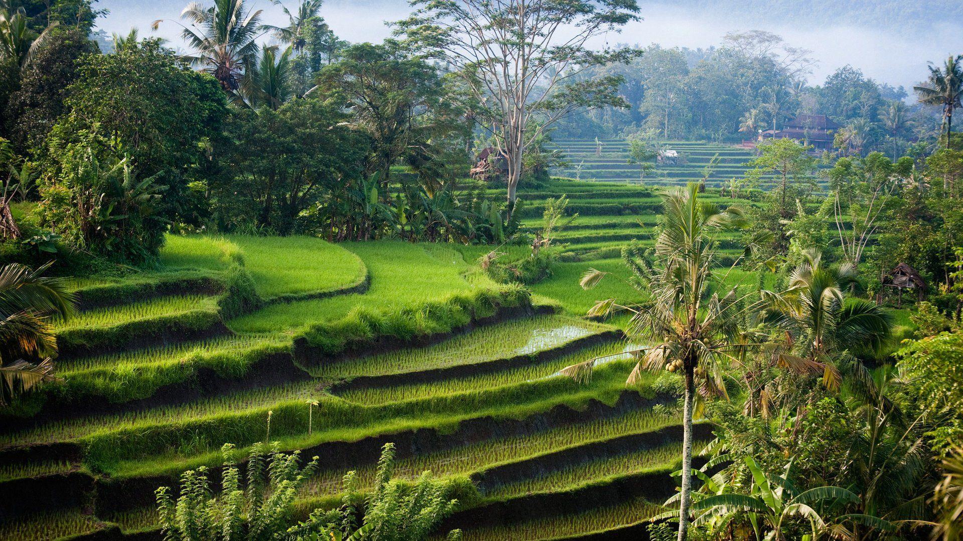 Rice Terrace Bali Ubud