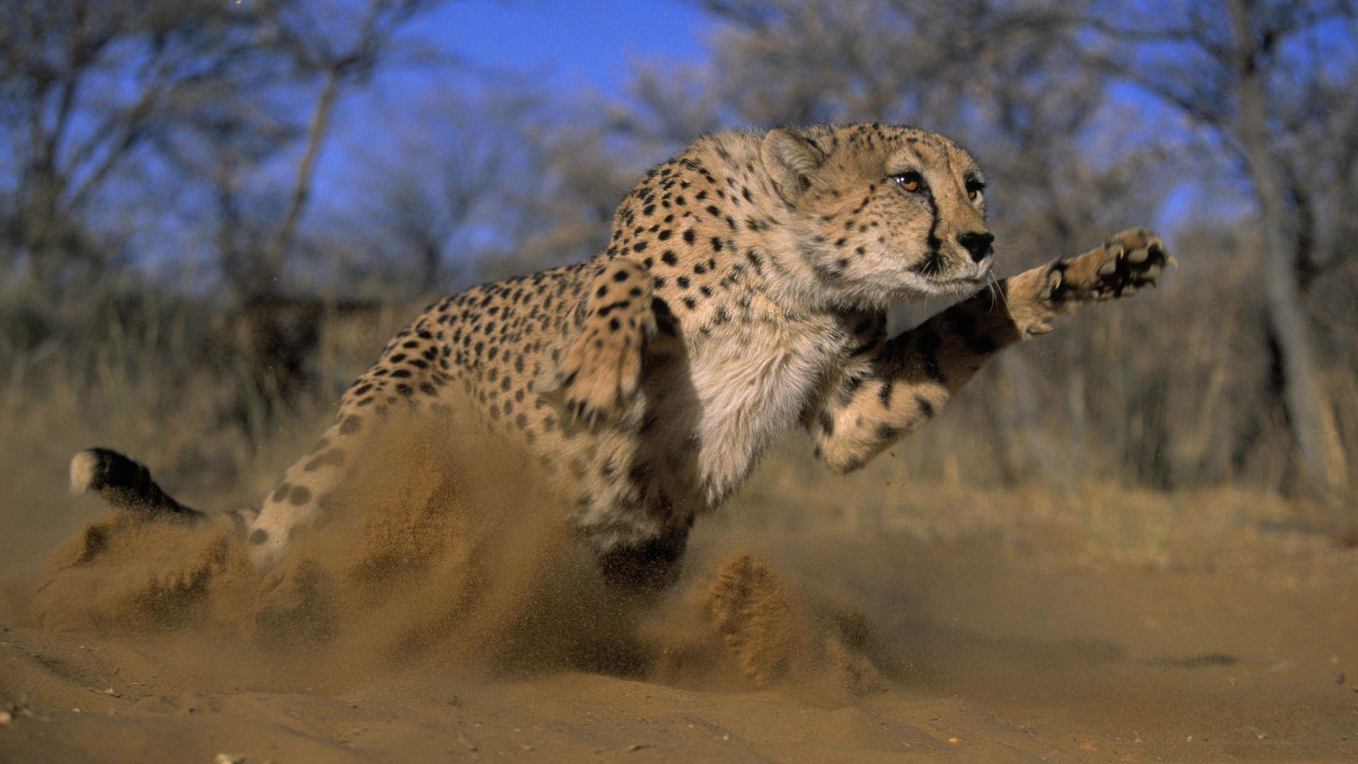 Running Cheetah Photo
