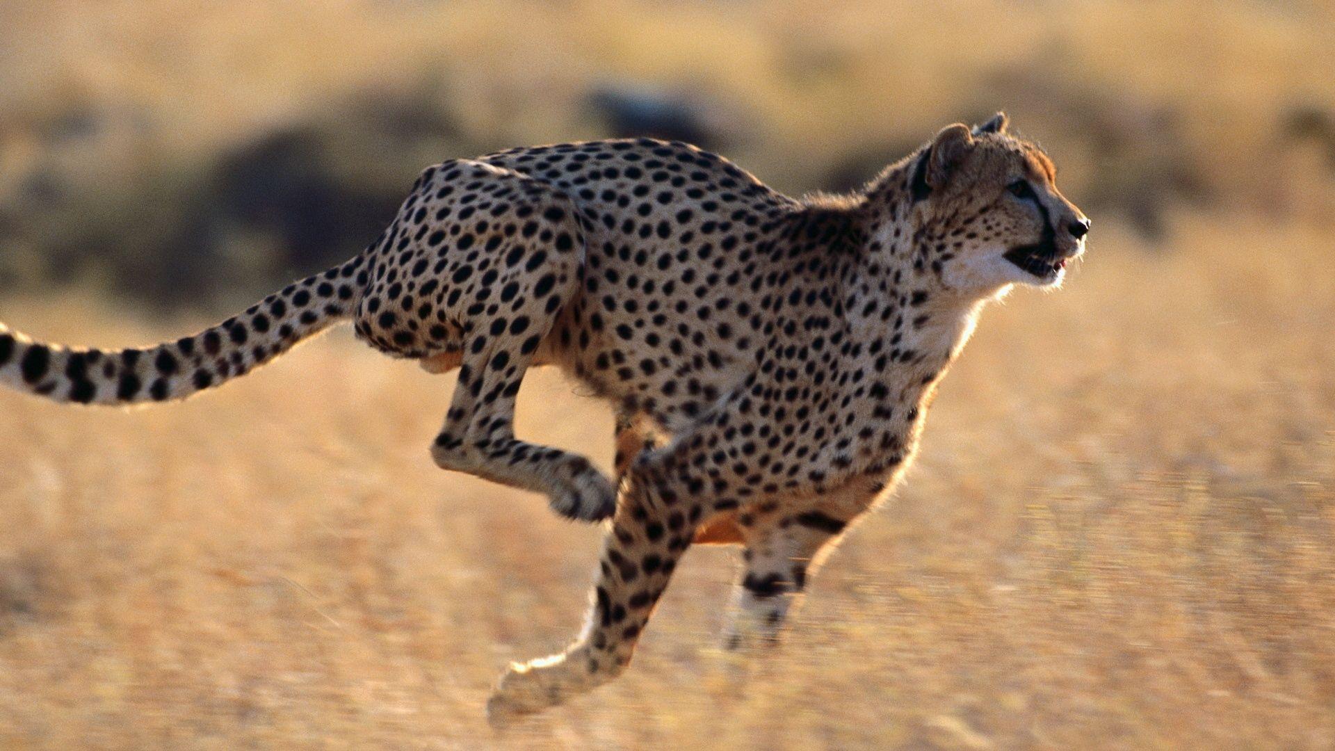 Running Cheetah Picture
